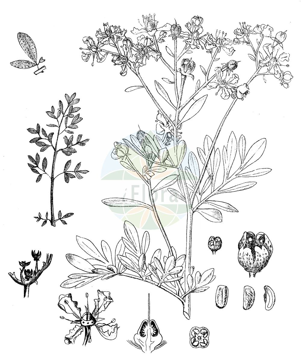 Historische Abbildung von Ruta graveolens (Wein-Raute - Rue). Das Bild zeigt Blatt, Bluete, Frucht und Same. ---- Historical Drawing of Ruta graveolens (Wein-Raute - Rue).The image is showing leaf, flower, fruit and seed.(Ruta graveolens,Wein-Raute,Rue,Ruta divaricata,Ruta graveolens,Ruta hortensis,Wein-Raute,Garten-Raute,Rue,Common Rue,Garden Rue,Herb Of Grace,Ruta,Raute,Rue,Rutaceae,Rautengewaechse,Rue family,Blatt,Bluete,Frucht,Same,leaf,flower,fruit,seed,Kirtikar & Basu (1918))
