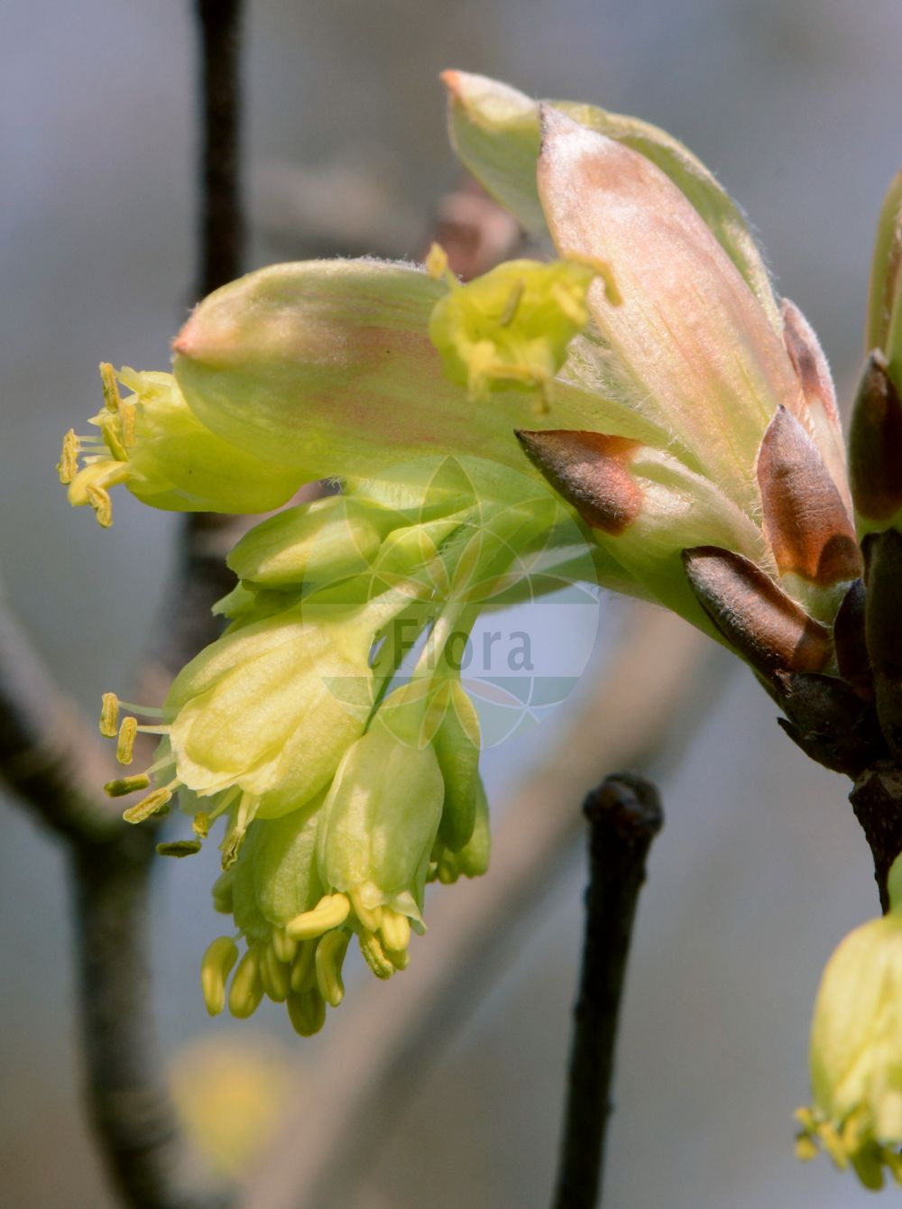 Foto von Acer opalus (Fruehlings-Ahorn - Italian Maple). Das Bild zeigt Knospe und Bluete. Das Foto wurde in Darmstadt, Hessen, Deutschland aufgenommen. ---- Photo of Acer opalus (Fruehlings-Ahorn - Italian Maple).The image is showing bud and flower.The picture was taken in Darmstadt, Hesse, Germany. (Acer opalus,Fruehlings-Ahorn,Italian Maple,Acer hispanicum,Acer italum,Acer opulifolium,Acer rotundifolium,Schneeball-Ahorn,Opalus Maple,Acer,Ahorn,Maple,Sapindaceae,Seifenbaumgewaechse,Soapberry family,Knospe,Bluete,bud,flower)