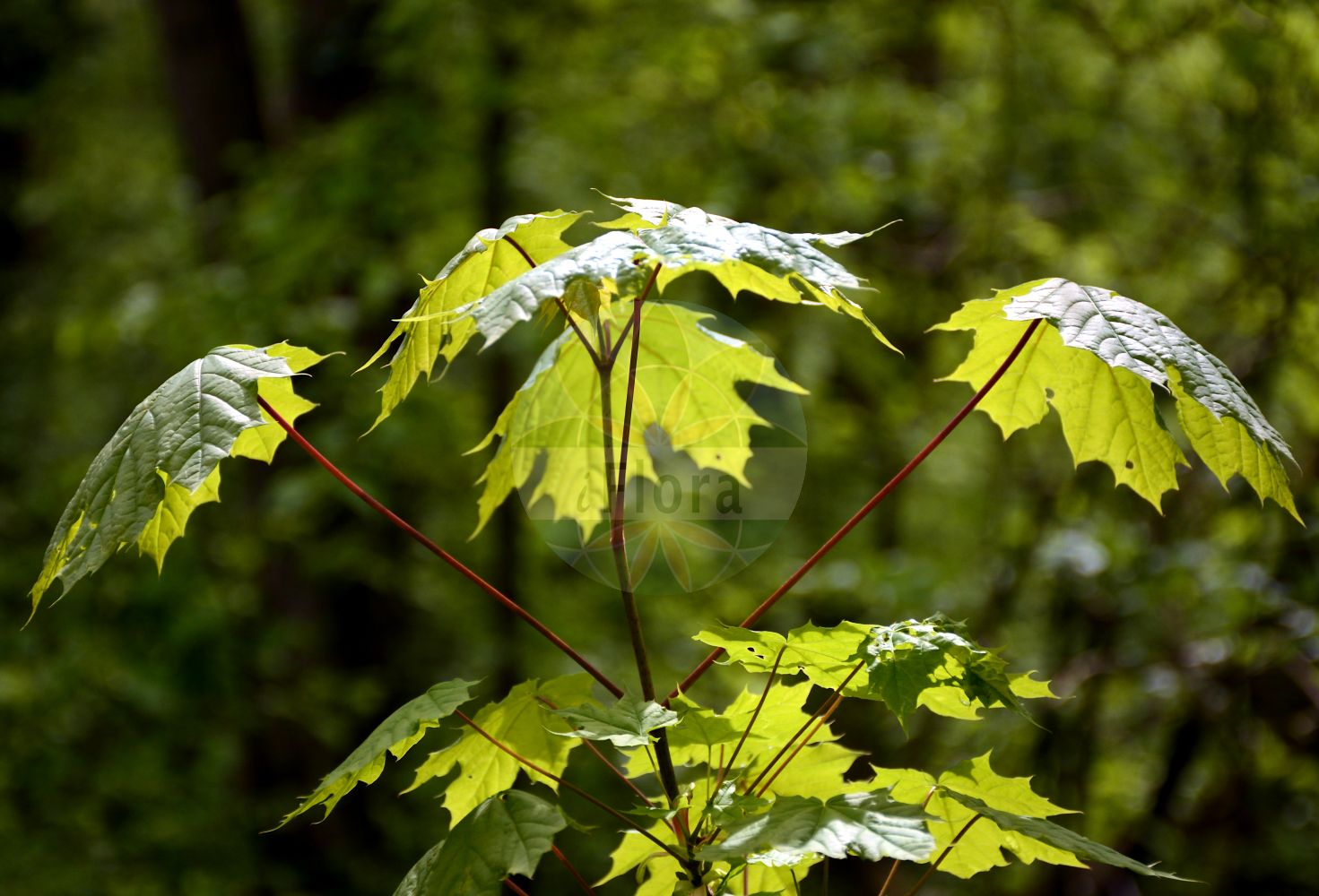 Foto von Acer platanoides (Spitz-Ahorn - Norway Maple). Das Bild zeigt Blatt. Das Foto wurde in Oberursel, Hochtaunuskreis, Hessen, Deutschland, Oberrheinisches Tiefland und Rhein-Main-Ebene, Untermainebene aufgenommen. ---- Photo of Acer platanoides (Spitz-Ahorn - Norway Maple).The image is showing leaf.The picture was taken in Oberursel, Hochtaunus district, Hesse, Germany, Oberrheinisches Tiefland and Rhein-Main-Ebene, Untermainebene. (Acer platanoides,Spitz-Ahorn,Norway Maple,Europaeischer ,Plane Maple,Acer,Ahorn,Maple,Sapindaceae,Seifenbaumgewaechse,Soapberry family,Blatt,leaf)