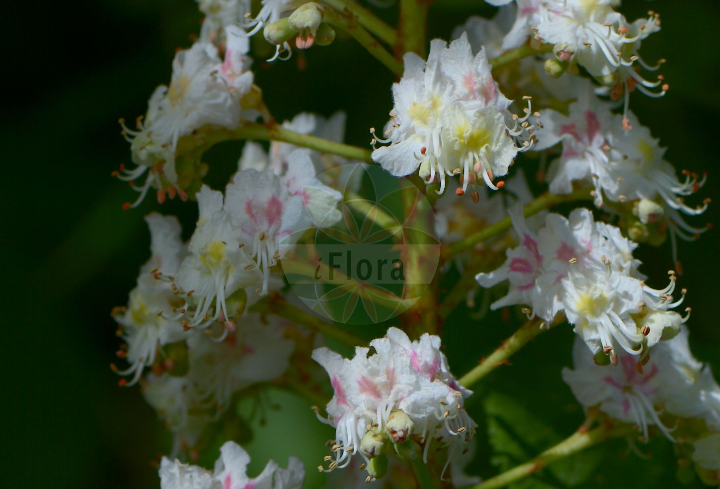 Foto von Aesculus hippocastanum (Gewoehnliche Rosskastanie - Horse-chestnut). Das Bild zeigt Blatt und Bluete. Das Foto wurde in Marburg, Hessen, Deutschland aufgenommen. ---- Photo of Aesculus hippocastanum (Gewoehnliche Rosskastanie - Horse-chestnut).The image is showing leaf and flower.The picture was taken in Marburg, Hesse, Germany. (Aesculus hippocastanum,Gewoehnliche Rosskastanie,Horse-chestnut,Balkan-Rosskastanie,Europaeische Rosskastanie,Weisse Rosskastanie,Common Horse Chestnut,Aesculus,Rosskastanie,Horse-chestnut,Sapindaceae,Seifenbaumgewaechse,Soapberry family,Blatt,Bluete,leaf,flower)