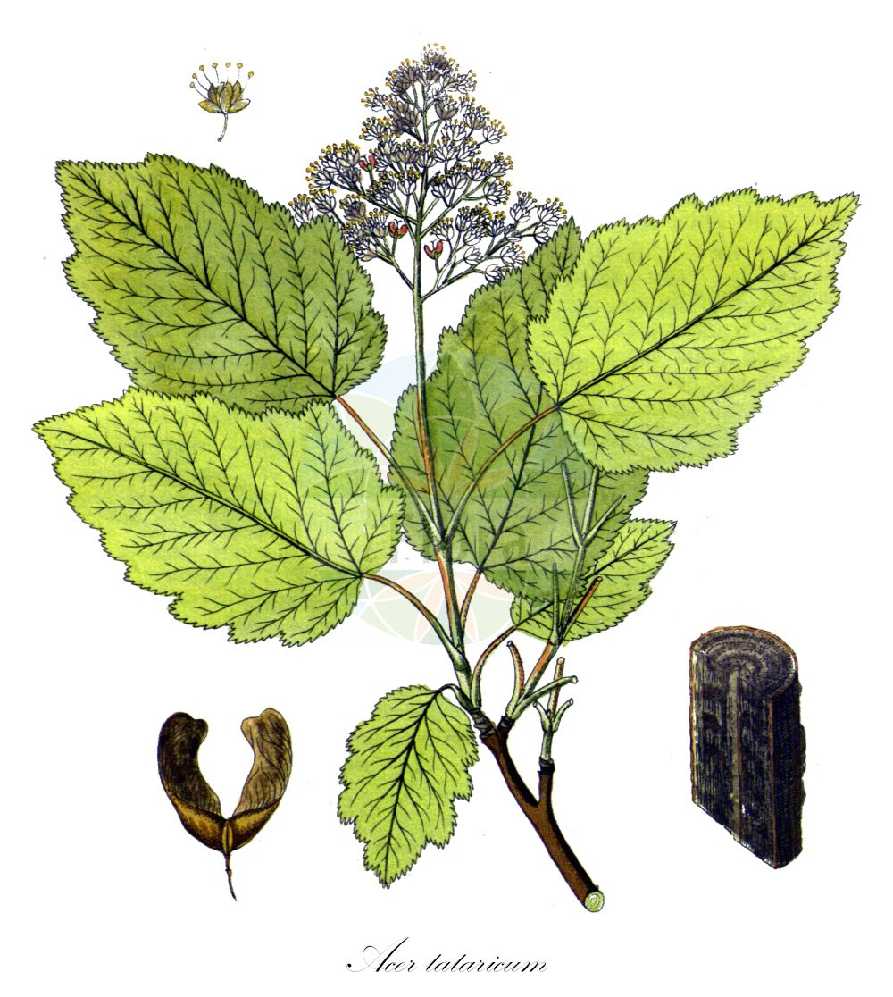 Historische Abbildung von Acer tataricum. Das Bild zeigt Blatt, Bluete, Frucht und Same. ---- Historical Drawing of Acer tataricum.The image is showing leaf, flower, fruit and seed. (Acer tataricum,Acer,Ahorn,Maple,Sapindaceae,Seifenbaumgewaechse,Soapberry family,Blatt,Bluete,Frucht,Same,leaf,flower,fruit,seed,Vietz (1800-1822))