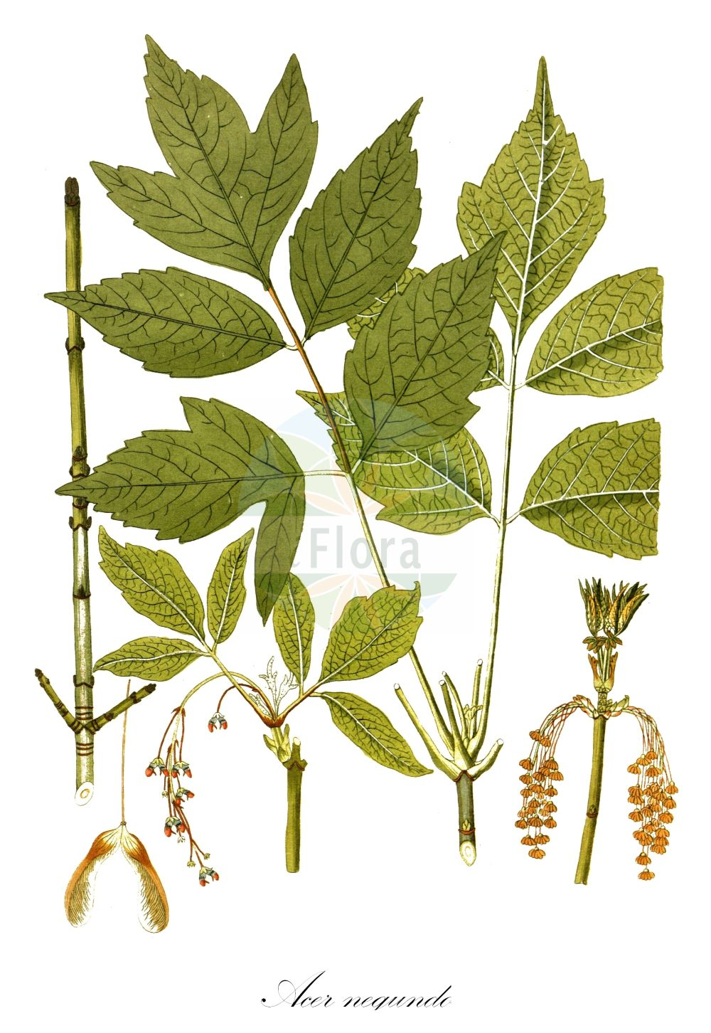 Historische Abbildung von Acer negundo (Eschen-Ahorn - Ashleaf Maple). Das Bild zeigt Blatt, Bluete, Frucht und Same. ---- Historical Drawing of Acer negundo (Eschen-Ahorn - Ashleaf Maple).The image is showing leaf, flower, fruit and seed. (Acer negundo,Eschen-Ahorn,Ashleaf Maple,Negundo aceroides,Negundo fraxinifolium,Water Ash,Black Ash,Boxelder,Cutleaf Maple,Maple Ash,Red River Maple,Ash-leaved Maple,Manitoba Maple,Acer,Ahorn,Maple,Sapindaceae,Seifenbaumgewaechse,Soapberry family,Blatt,Bluete,Frucht,Same,leaf,flower,fruit,seed,Oskamp et al. (1796-1800))