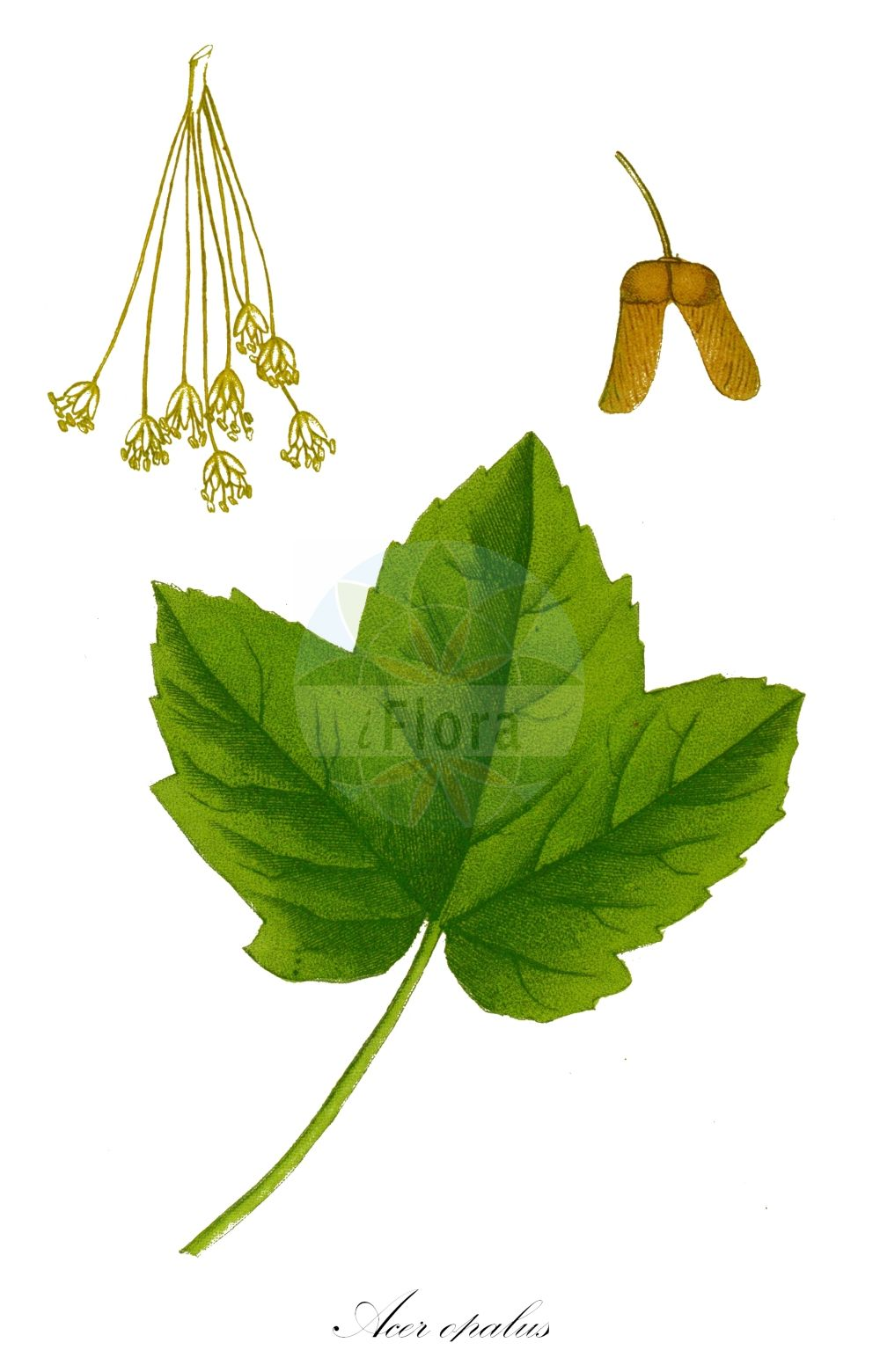 Historische Abbildung von Acer opalus (Fruehlings-Ahorn - Italian Maple). Das Bild zeigt Blatt, Bluete, Frucht und Same. ---- Historical Drawing of Acer opalus (Fruehlings-Ahorn - Italian Maple).The image is showing leaf, flower, fruit and seed. (Acer opalus,Fruehlings-Ahorn,Italian Maple,Acer hispanicum,Acer italum,Acer opulifolium,Acer rotundifolium,Schneeball-Ahorn,Opalus Maple,Acer,Ahorn,Maple,Sapindaceae,Seifenbaumgewaechse,Soapberry family,Blatt,Bluete,Frucht,Same,leaf,flower,fruit,seed,de Saint-Hilaire (1824a))