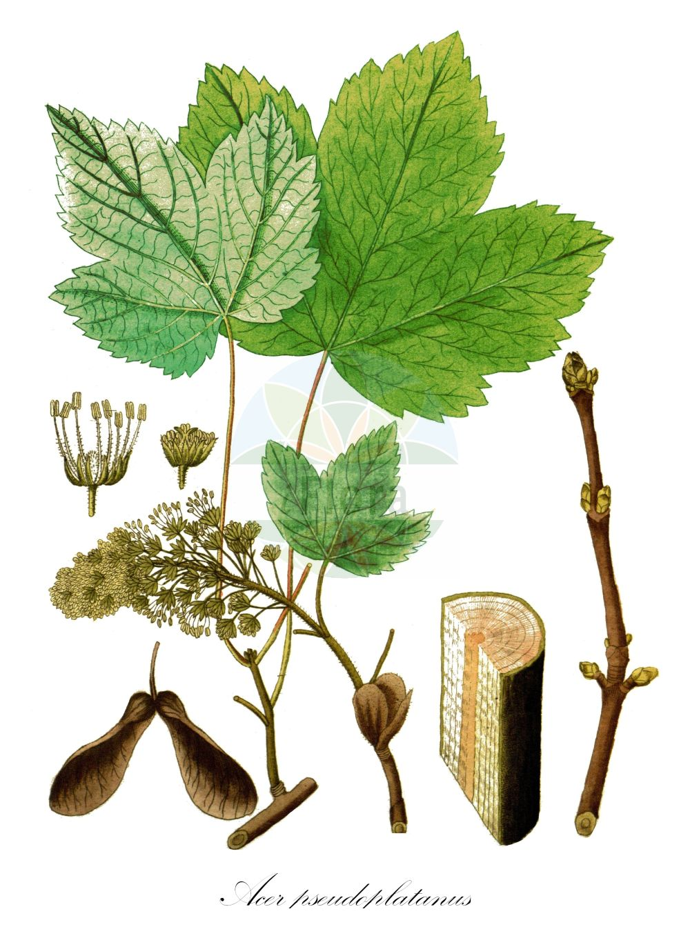 Historische Abbildung von Acer pseudoplatanus (Berg-Ahorn - Sycamore). Das Bild zeigt Blatt, Bluete, Frucht und Same. ---- Historical Drawing of Acer pseudoplatanus (Berg-Ahorn - Sycamore).The image is showing leaf, flower, fruit and seed. (Acer pseudoplatanus,Berg-Ahorn,Sycamore,Acer quinquelobum,Acer villosum,Trauben-Ahorn,Wald-Ahorn,Weiss-Ahorn,Common  Maple,Great Maple,Plane Maple,Acer,Ahorn,Maple,Sapindaceae,Seifenbaumgewaechse,Soapberry family,Blatt,Bluete,Frucht,Same,leaf,flower,fruit,seed,Vietz (1800-1822))