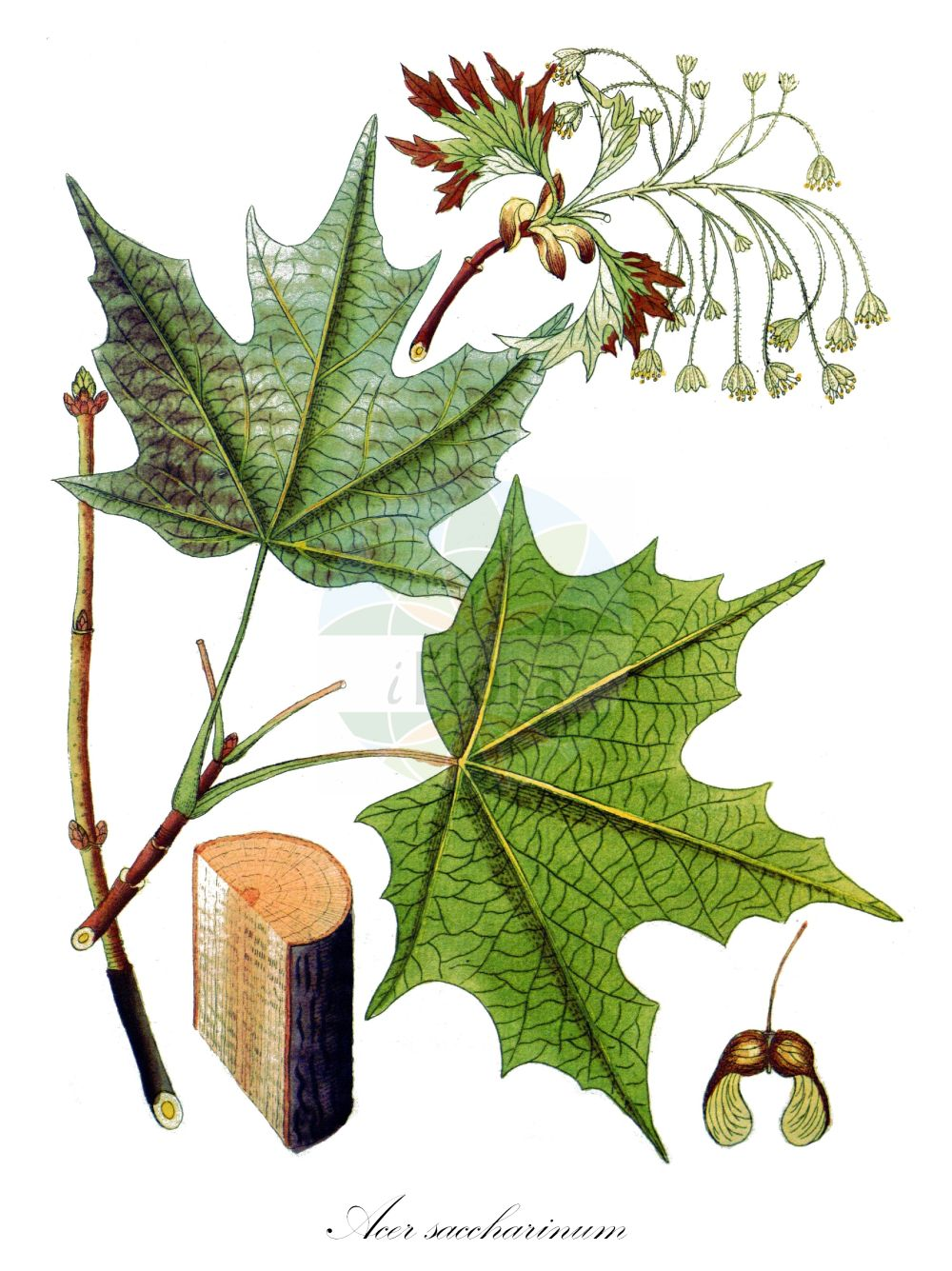 Historische Abbildung von Acer saccharinum (Silber-Ahorn - Silver Maple). Das Bild zeigt Blatt, Bluete, Frucht und Same. ---- Historical Drawing of Acer saccharinum (Silber-Ahorn - Silver Maple).The image is showing leaf, flower, fruit and seed. (Acer saccharinum,Silber-Ahorn,Silver Maple,Acer dasycarpum,,Creek Maple,River Maple,Silverleaf Maple,Soft Maple,Swamp Maple,Water Maple,White Maple,Sugar Maple,Acer,Ahorn,Maple,Sapindaceae,Seifenbaumgewaechse,Soapberry family,Blatt,Bluete,Frucht,Same,leaf,flower,fruit,seed,Vietz (1800-1822))