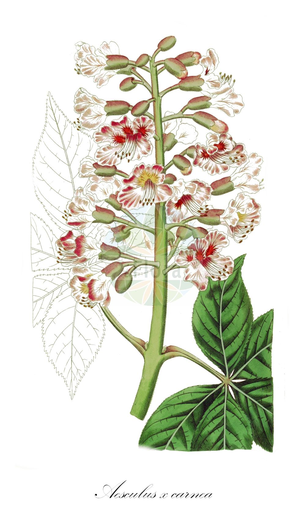 Historische Abbildung von Aesculus x carnea (Fleischrote Rosskastanie - Red Horse Chestnut). Das Bild zeigt Blatt, Bluete, Frucht und Same. ---- Historical Drawing of Aesculus x carnea (Fleischrote Rosskastanie - Red Horse Chestnut).The image is showing leaf, flower, fruit and seed. (Aesculus x carnea,Fleischrote Rosskastanie,Red Horse Chestnut,Rote Rosskastanie,Aesculus,Rosskastanie,Horse-chestnut,Sapindaceae,Seifenbaumgewaechse,Soapberry family,Blatt,Bluete,Frucht,Same,leaf,flower,fruit,seed,Hart (1827))