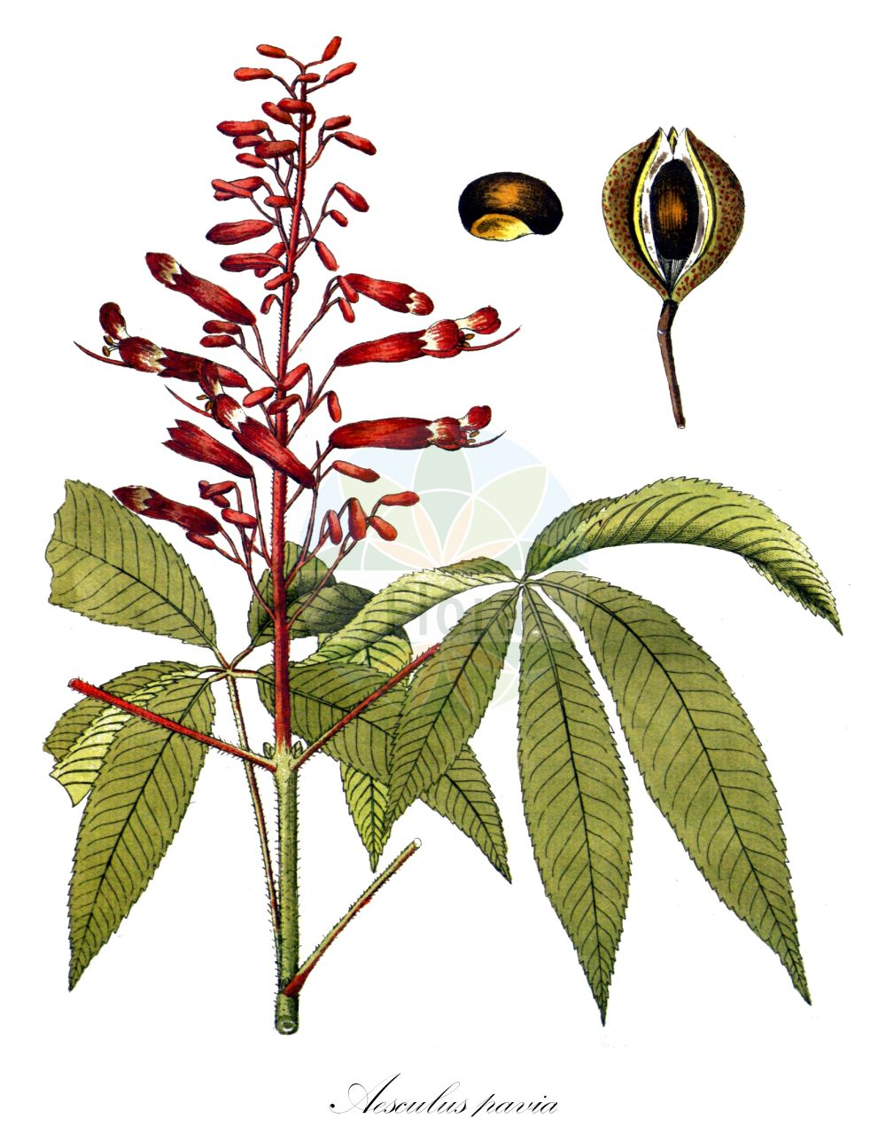 Historische Abbildung von Aesculus pavia. Das Bild zeigt Blatt, Bluete, Frucht und Same. ---- Historical Drawing of Aesculus pavia.The image is showing leaf, flower, fruit and seed. (Aesculus pavia,Aesculus,Rosskastanie,Horse-chestnut,Sapindaceae,Seifenbaumgewaechse,Soapberry family,Blatt,Bluete,Frucht,Same,leaf,flower,fruit,seed,Vietz (1800-1822))