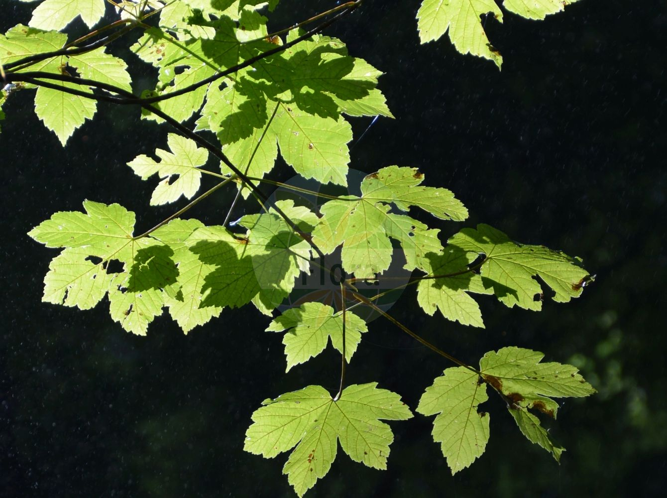 Foto von Acer pseudoplatanus (Berg-Ahorn - Sycamore). Das Foto wurde in Stans, Tirol, Österreich, Alpen aufgenommen. ---- Photo of Acer pseudoplatanus (Berg-Ahorn - Sycamore).The picture was taken in Stans, Tyrol, Austria, Alps. (Acer pseudoplatanus,Berg-Ahorn,Sycamore,Acer quinquelobum,Acer villosum,Trauben-Ahorn,Wald-Ahorn,Weiss-Ahorn,Common  Maple,Great Maple,Plane Maple,Acer,Ahorn,Maple,Sapindaceae,Seifenbaumgewaechse,Soapberry family)