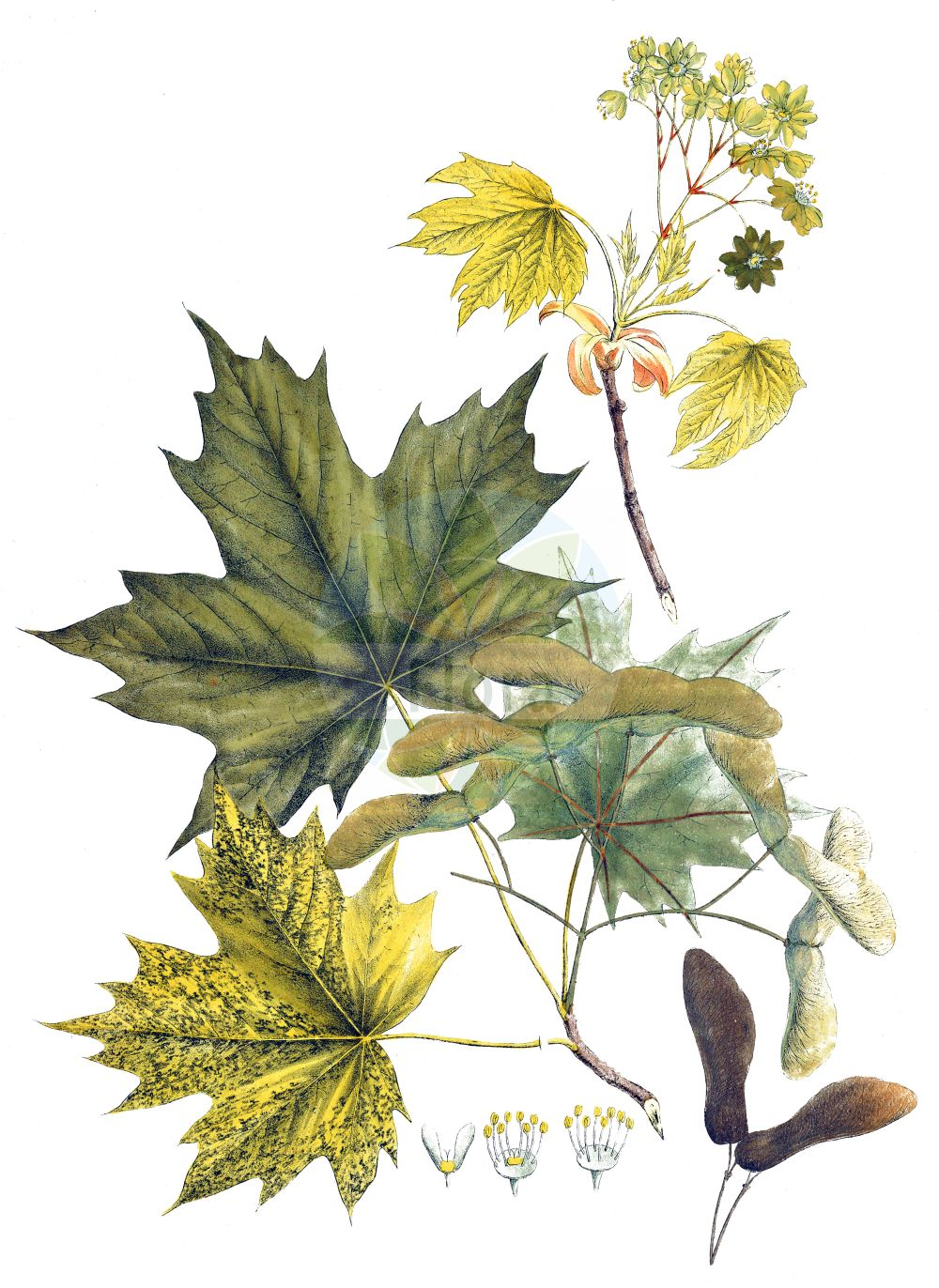 Historische Abbildung von Acer platanoides (Spitz-Ahorn - Norway Maple). Das Bild zeigt Blatt, Bluete, Frucht und Same. ---- Historical Drawing of Acer platanoides (Spitz-Ahorn - Norway Maple).The image is showing leaf, flower, fruit and seed.(Acer platanoides,Spitz-Ahorn,Norway Maple,Acer platanoides,Spitz-Ahorn,Europaeischer Spitz-Ahorn,Norway Maple,Plane Maple,Acer,Ahorn,Maple,Sapindaceae,Seifenbaumgewaechse,Soapberry family,Blatt,Bluete,Frucht,Same,leaf,flower,fruit,seed,Krebs (1826))