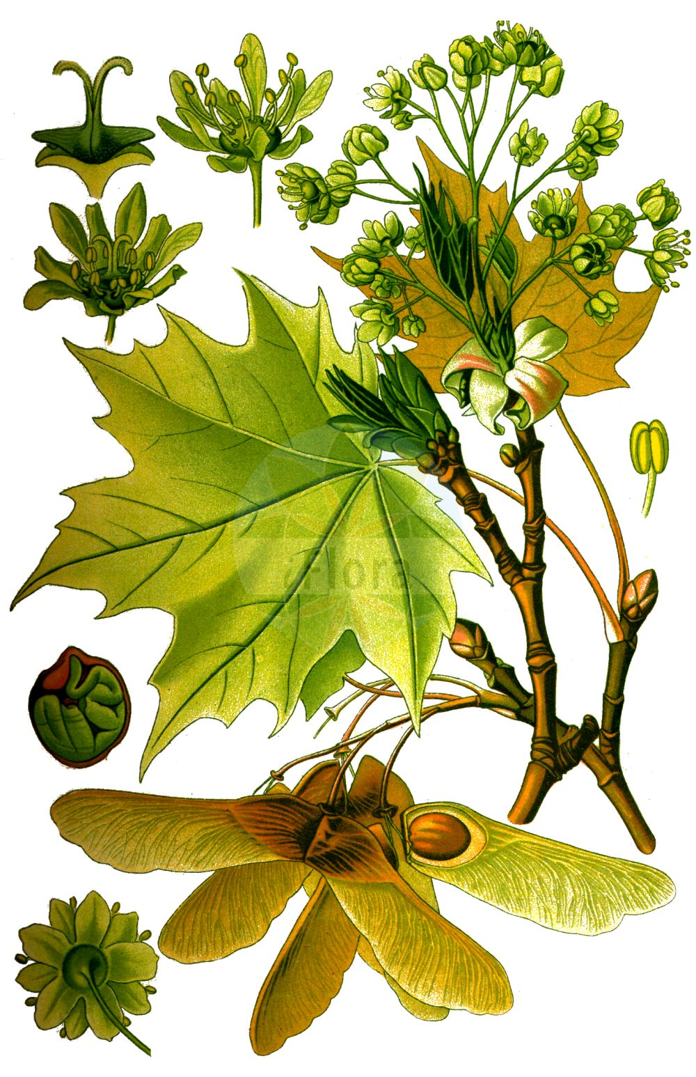 Historische Abbildung von Acer platanoides (Spitz-Ahorn - Norway Maple). Das Bild zeigt Blatt, Bluete, Frucht und Same. ---- Historical Drawing of Acer platanoides (Spitz-Ahorn - Norway Maple).The image is showing leaf, flower, fruit and seed.(Acer platanoides,Spitz-Ahorn,Norway Maple,Acer platanoides,Spitz-Ahorn,Europaeischer Spitz-Ahorn,Norway Maple,Plane Maple,Acer,Ahorn,Maple,Sapindaceae,Seifenbaumgewaechse,Soapberry family,Blatt,Bluete,Frucht,Same,leaf,flower,fruit,seed,Thomé (1885))