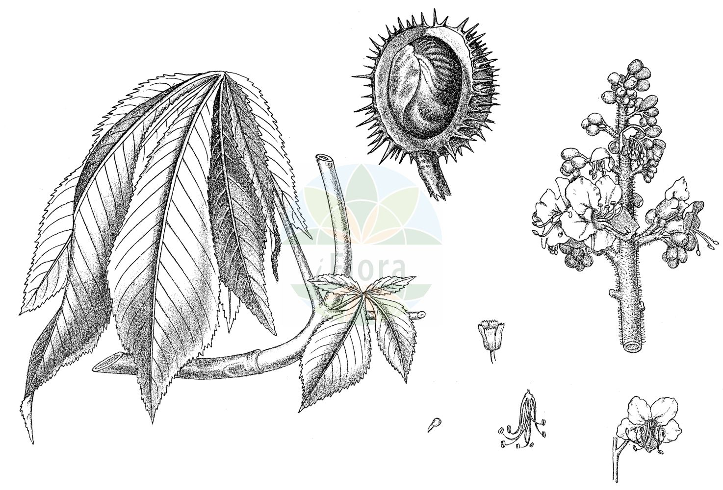 Historische Abbildung von Aesculus hippocastanum (Gewoehnliche Rosskastanie - Horse-chestnut). Das Bild zeigt Blatt, Bluete, Frucht und Same. ---- Historical Drawing of Aesculus hippocastanum (Gewoehnliche Rosskastanie - Horse-chestnut).The image is showing leaf, flower, fruit and seed.(Aesculus hippocastanum,Gewoehnliche Rosskastanie,Horse-chestnut,Aesculus hippocastanum,Gewoehnliche Rosskastanie,Balkan-Rosskastanie,Europaeische Rosskastanie,Weisse Rosskastanie,Horse-chestnut,Common Horse Chestnut,Aesculus,Rosskastanie,Horse-chestnut,Sapindaceae,Seifenbaumgewaechse,Soapberry family,Blatt,Bluete,Frucht,Same,leaf,flower,fruit,seed,Kirtikar & Basu (1918))