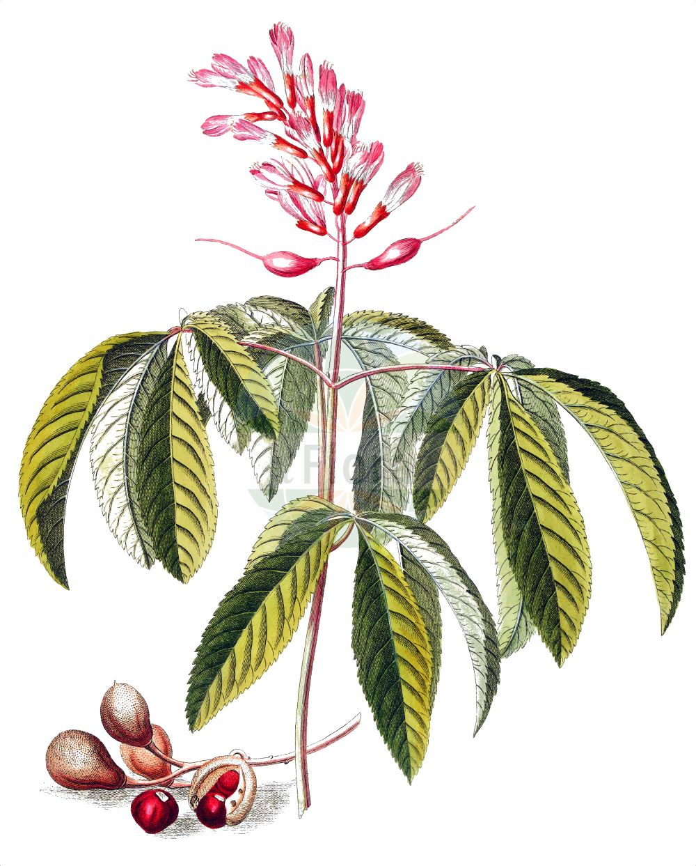 Historische Abbildung von Aesculus pavia. Das Bild zeigt Blatt, Bluete, Frucht und Same. ---- Historical Drawing of Aesculus pavia.The image is showing leaf, flower, fruit and seed.(Aesculus pavia,Aesculus pavia,Aesculus,Rosskastanie,Horse-chestnut,Sapindaceae,Seifenbaumgewaechse,Soapberry family,Blatt,Bluete,Frucht,Same,leaf,flower,fruit,seed,Ehret (1708-1780))