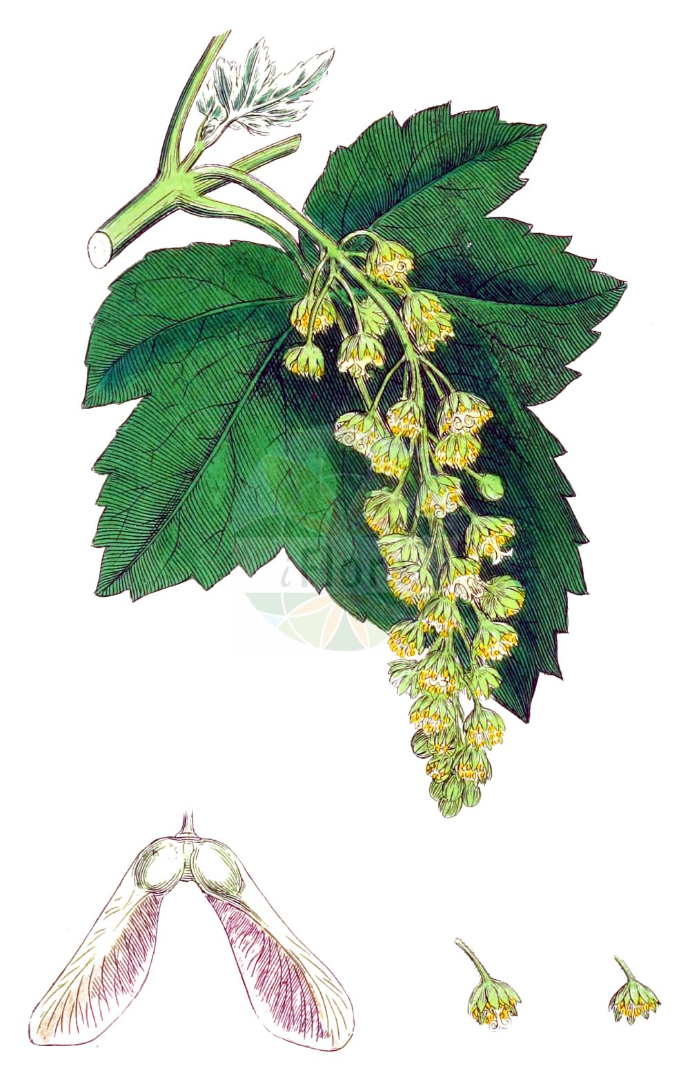Historische Abbildung von Acer pseudoplatanus (Berg-Ahorn - Sycamore). Das Bild zeigt Blatt, Bluete, Frucht und Same. ---- Historical Drawing of Acer pseudoplatanus (Berg-Ahorn - Sycamore).The image is showing leaf, flower, fruit and seed.(Acer pseudoplatanus,Berg-Ahorn,Sycamore,Acer pseudoplatanus,Acer quinquelobum,Acer villosum,Berg-Ahorn,Trauben-Ahorn,Wald-Ahorn,Weiss-Ahorn,Sycamore,Common Sycamore,Sycamore Maple,Great Maple,Plane Maple,Acer,Ahorn,Maple,Sapindaceae,Seifenbaumgewaechse,Soapberry family,Blatt,Bluete,Frucht,Same,leaf,flower,fruit,seed,Sowerby (1790-1813))