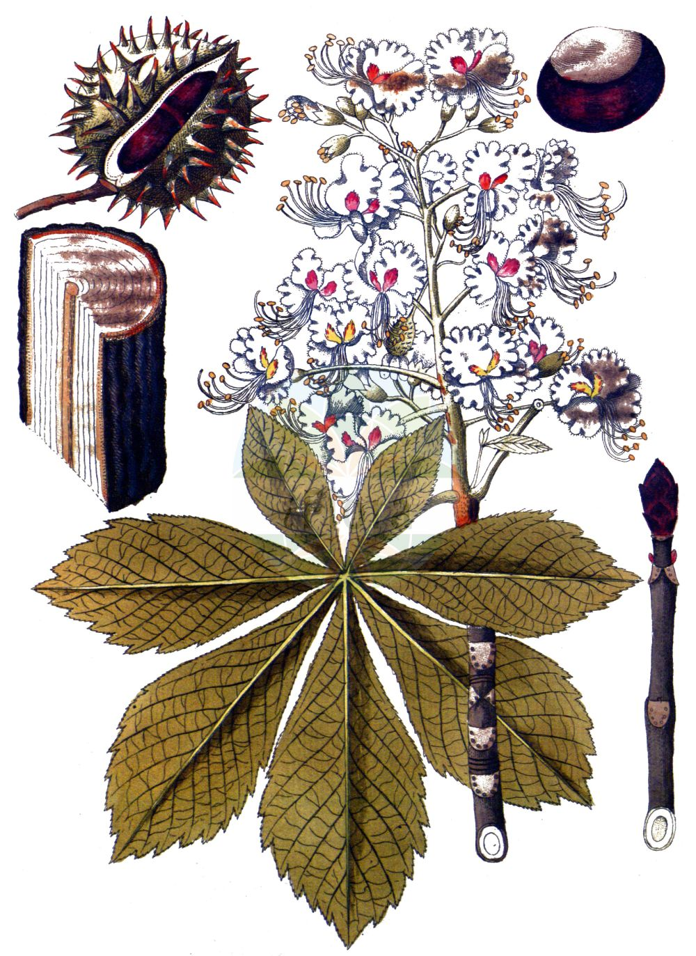 Historische Abbildung von Aesculus hippocastanum (Gewoehnliche Rosskastanie - Horse-chestnut). Das Bild zeigt Blatt, Bluete, Frucht und Same. ---- Historical Drawing of Aesculus hippocastanum (Gewoehnliche Rosskastanie - Horse-chestnut).The image is showing leaf, flower, fruit and seed.(Aesculus hippocastanum,Gewoehnliche Rosskastanie,Horse-chestnut,Aesculus hippocastanum,Gewoehnliche Rosskastanie,Balkan-Rosskastanie,Europaeische Rosskastanie,Weisse Rosskastanie,Horse-chestnut,Common Horse Chestnut,Aesculus,Rosskastanie,Horse-chestnut,Sapindaceae,Seifenbaumgewaechse,Soapberry family,Blatt,Bluete,Frucht,Same,leaf,flower,fruit,seed,Vietz (1800-1822))