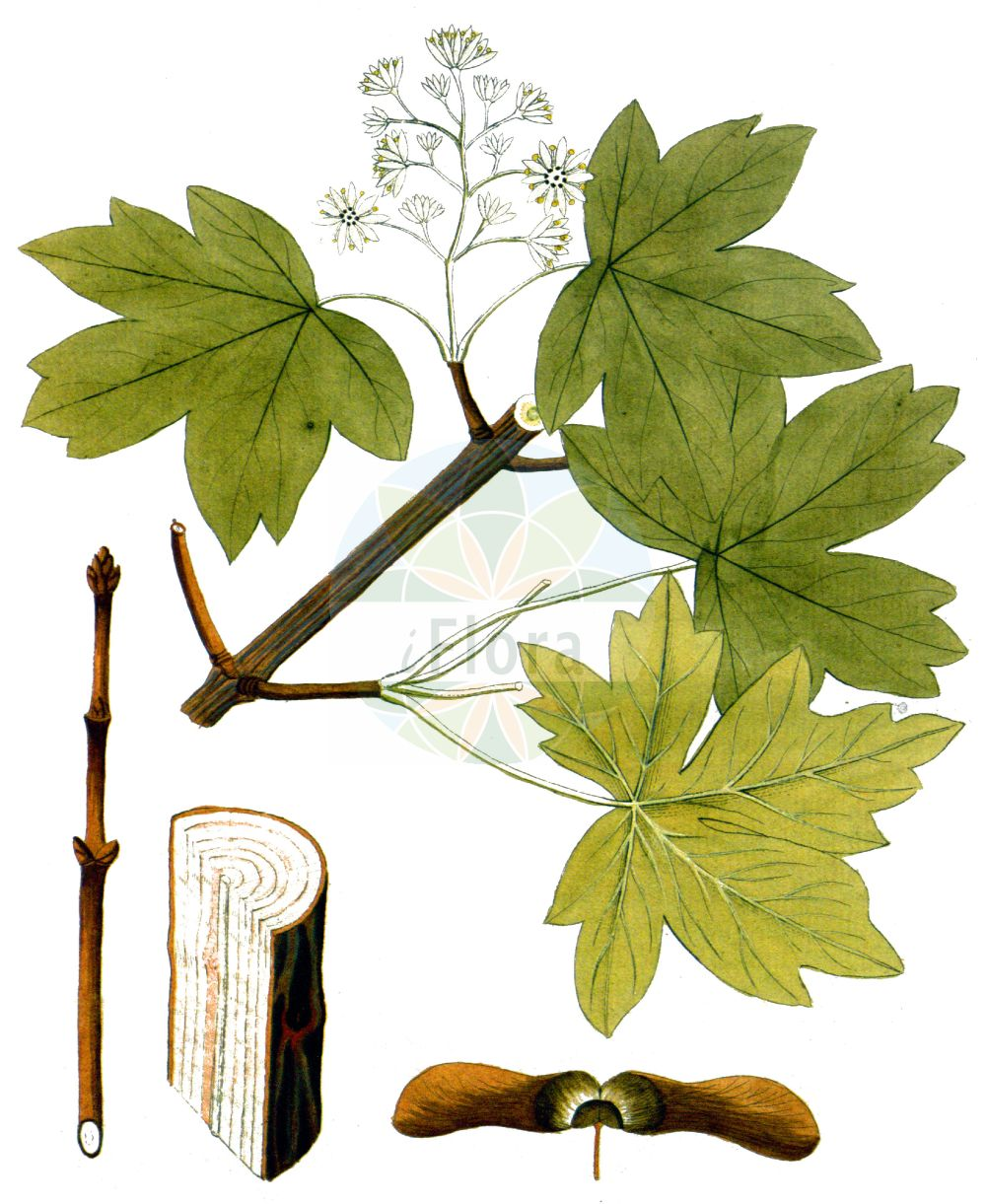 Historische Abbildung von Acer campestre (Feld-Ahorn - Field Maple). Das Bild zeigt Blatt, Bluete, Frucht und Same. ---- Historical Drawing of Acer campestre (Feld-Ahorn - Field Maple).The image is showing leaf, flower, fruit and seed.(Acer campestre,Feld-Ahorn,Field Maple,Acer acuminatilobum,Acer affine,Acer austriacum,Acer bedoei,Acer campestre,Acer collinum,Acer leiocarpon,Acer microcarpon,Acer molle,Feld-Ahorn,Field Maple,Common Maple,Hedge Maple,Maser,Acer,Ahorn,Maple,Sapindaceae,Seifenbaumgewaechse,Soapberry family,Blatt,Bluete,Frucht,Same,leaf,flower,fruit,seed,Vietz (1800-1822))