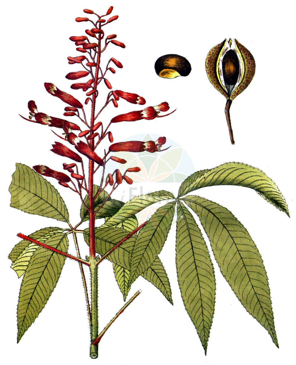 Historische Abbildung von Aesculus pavia. Das Bild zeigt Blatt, Bluete, Frucht und Same. ---- Historical Drawing of Aesculus pavia.The image is showing leaf, flower, fruit and seed.(Aesculus pavia,Aesculus pavia,Aesculus,Rosskastanie,Horse-chestnut,Sapindaceae,Seifenbaumgewaechse,Soapberry family,Blatt,Bluete,Frucht,Same,leaf,flower,fruit,seed,Vietz (1800-1822))