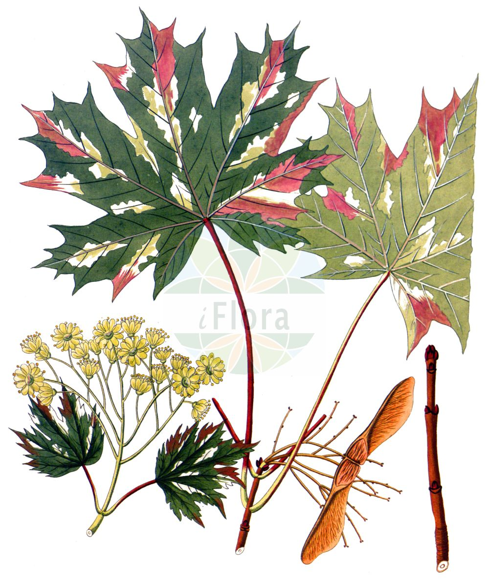 Historische Abbildung von Acer platanoides (Spitz-Ahorn - Norway Maple). Das Bild zeigt Blatt, Bluete, Frucht und Same. ---- Historical Drawing of Acer platanoides (Spitz-Ahorn - Norway Maple).The image is showing leaf, flower, fruit and seed.(Acer platanoides,Spitz-Ahorn,Norway Maple,Acer platanoides,Spitz-Ahorn,Europaeischer Spitz-Ahorn,Norway Maple,Plane Maple,Acer,Ahorn,Maple,Sapindaceae,Seifenbaumgewaechse,Soapberry family,Blatt,Bluete,Frucht,Same,leaf,flower,fruit,seed,Krauss (1802f))