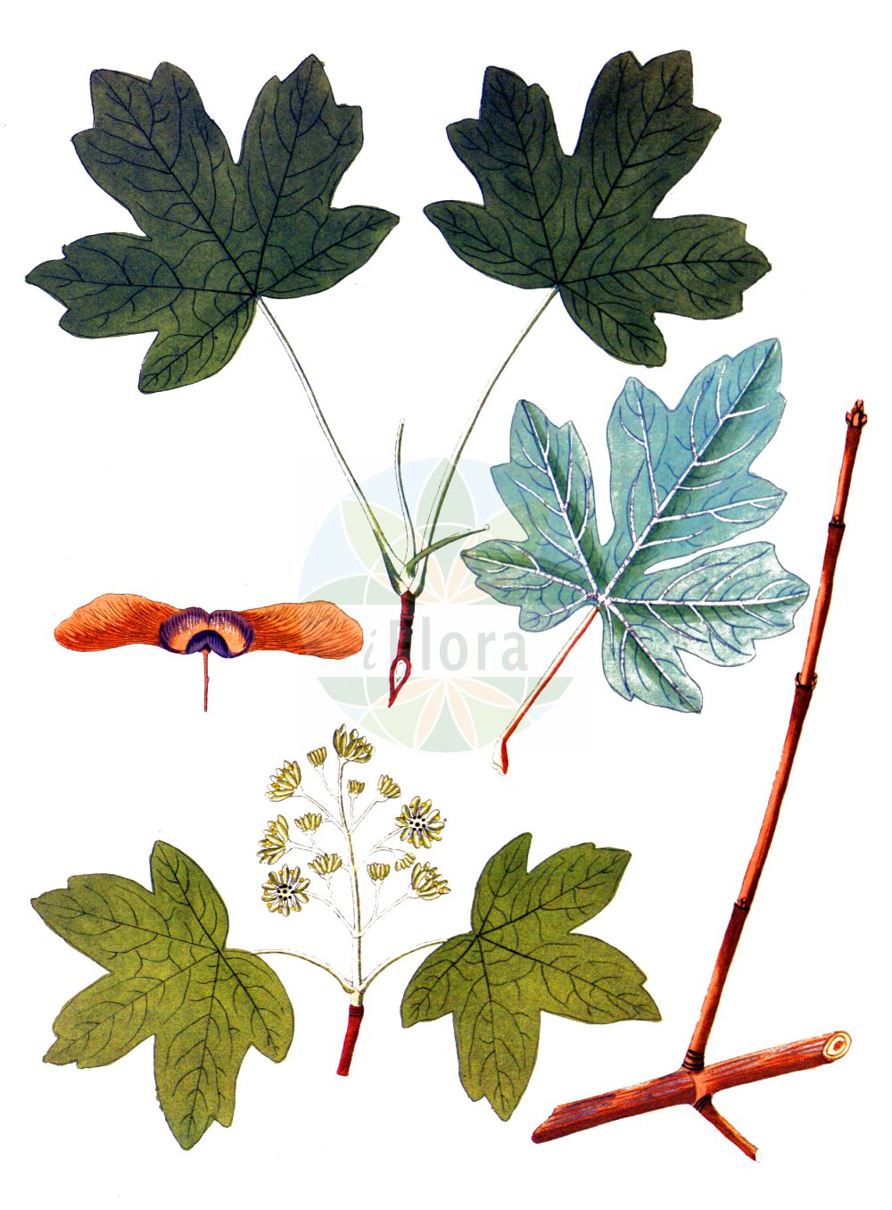 Historische Abbildung von Acer campestre (Feld-Ahorn - Field Maple). Das Bild zeigt Blatt, Bluete, Frucht und Same. ---- Historical Drawing of Acer campestre (Feld-Ahorn - Field Maple).The image is showing leaf, flower, fruit and seed.(Acer campestre,Feld-Ahorn,Field Maple,Acer acuminatilobum,Acer affine,Acer austriacum,Acer bedoei,Acer campestre,Acer collinum,Acer leiocarpon,Acer microcarpon,Acer molle,Feld-Ahorn,Field Maple,Common Maple,Hedge Maple,Maser,Acer,Ahorn,Maple,Sapindaceae,Seifenbaumgewaechse,Soapberry family,Blatt,Bluete,Frucht,Same,leaf,flower,fruit,seed,Krauss (1802f))