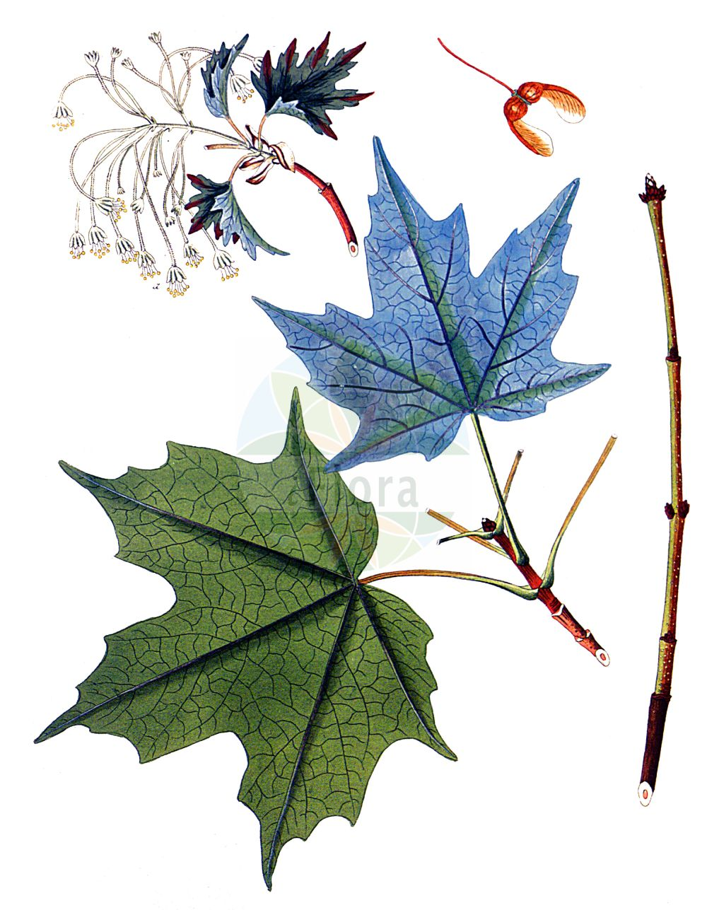 Historische Abbildung von Acer saccharinum (Silber-Ahorn - Silver Maple). Das Bild zeigt Blatt, Bluete, Frucht und Same. ---- Historical Drawing of Acer saccharinum (Silber-Ahorn - Silver Maple).The image is showing leaf, flower, fruit and seed.(Acer saccharinum,Silber-Ahorn,Silver Maple,Acer dasycarpum,Acer saccharinum,Silber-Ahorn,Silver Maple,Creek Maple,River Maple,Silverleaf Maple,Soft Maple,Swamp Maple,Water Maple,White Maple,Sugar Maple,Acer,Ahorn,Maple,Sapindaceae,Seifenbaumgewaechse,Soapberry family,Blatt,Bluete,Frucht,Same,leaf,flower,fruit,seed,Krauss (1802f))