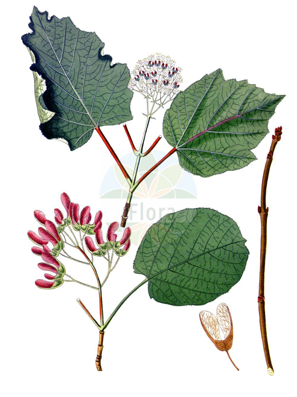 Historische Abbildung von Acer tataricum. Das Bild zeigt Blatt, Bluete, Frucht und Same. ---- Historical Drawing of Acer tataricum.The image is showing leaf, flower, fruit and seed.(Acer tataricum,Acer tataricum,Acer,Ahorn,Maple,Sapindaceae,Seifenbaumgewaechse,Soapberry family,Blatt,Bluete,Frucht,Same,leaf,flower,fruit,seed,Krauss (1802f))