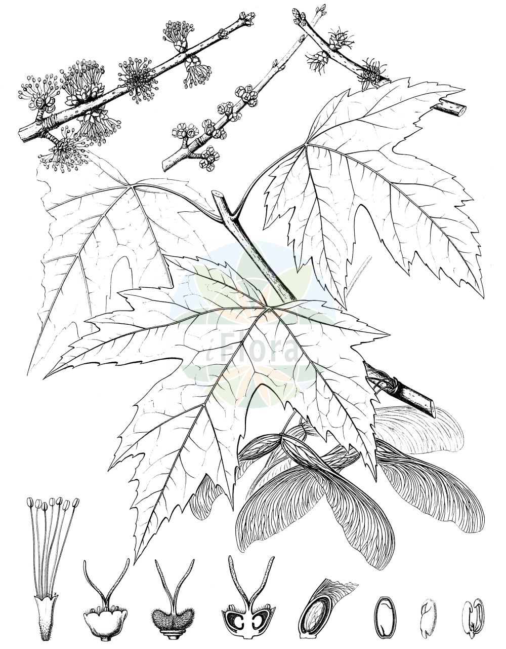 Historische Abbildung von Acer saccharinum (Silber-Ahorn - Silver Maple). Das Bild zeigt Blatt, Bluete, Frucht und Same. ---- Historical Drawing of Acer saccharinum (Silber-Ahorn - Silver Maple).The image is showing leaf, flower, fruit and seed.(Acer saccharinum,Silber-Ahorn,Silver Maple,Acer dasycarpum,Acer saccharinum,Silber-Ahorn,Silver Maple,Creek Maple,River Maple,Silverleaf Maple,Soft Maple,Swamp Maple,Water Maple,White Maple,Sugar Maple,Acer,Ahorn,Maple,Sapindaceae,Seifenbaumgewaechse,Soapberry family,Blatt,Bluete,Frucht,Same,leaf,flower,fruit,seed,Sargent (1898-1902))