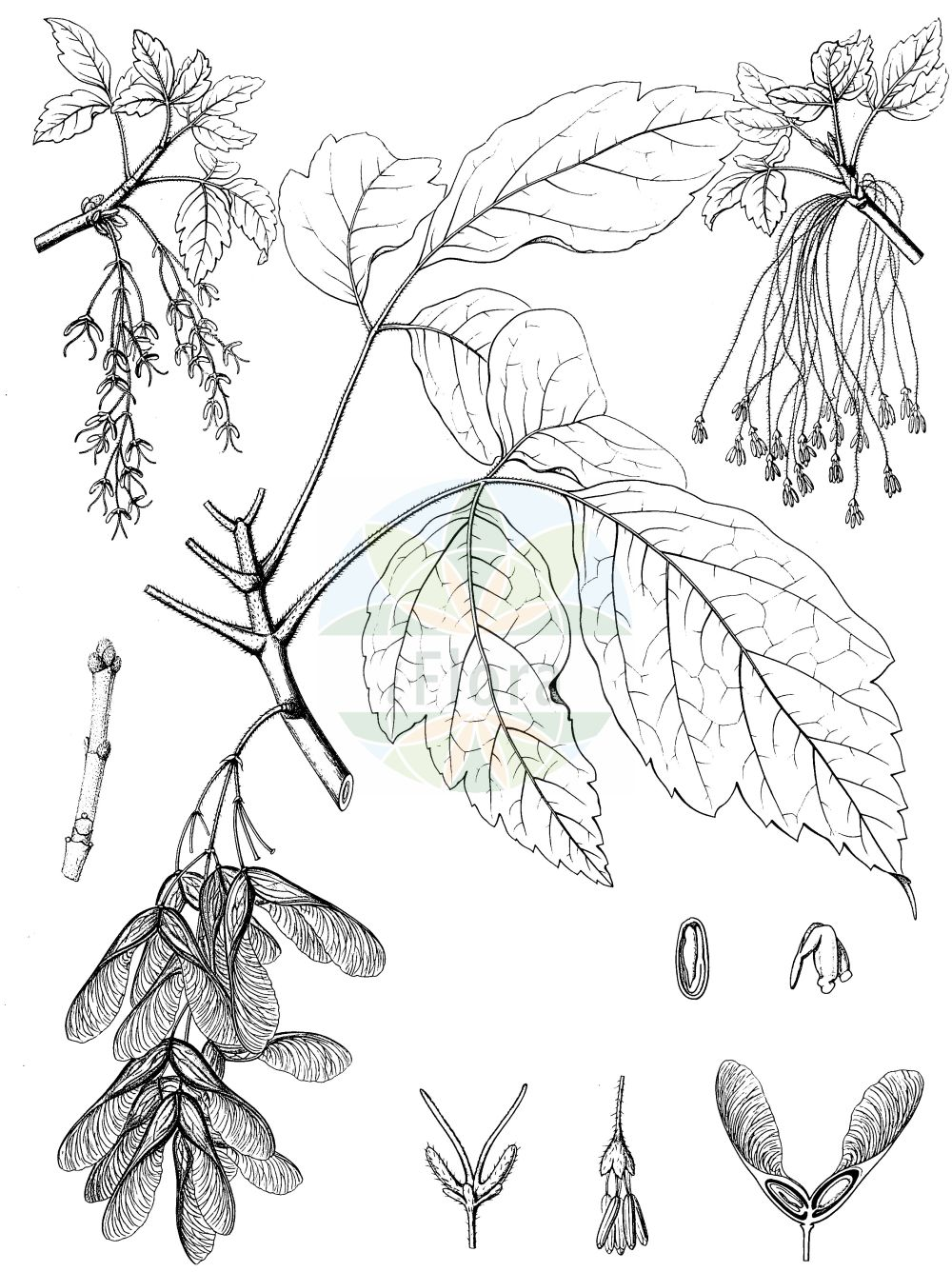Historische Abbildung von Acer negundo (Eschen-Ahorn - Ashleaf Maple). Das Bild zeigt Blatt, Bluete, Frucht und Same. ---- Historical Drawing of Acer negundo (Eschen-Ahorn - Ashleaf Maple).The image is showing leaf, flower, fruit and seed.(Acer negundo,Eschen-Ahorn,Ashleaf Maple,Acer negundo,Negundo aceroides,Negundo fraxinifolium,Eschen-Ahorn,Ashleaf Maple,Water Ash,Black Ash,Boxelder,Cutleaf Maple,Maple Ash,Red River Maple,Ash-leaved Maple,Manitoba Maple,Acer,Ahorn,Maple,Sapindaceae,Seifenbaumgewaechse,Soapberry family,Blatt,Bluete,Frucht,Same,leaf,flower,fruit,seed,Sargent (1898-1902))