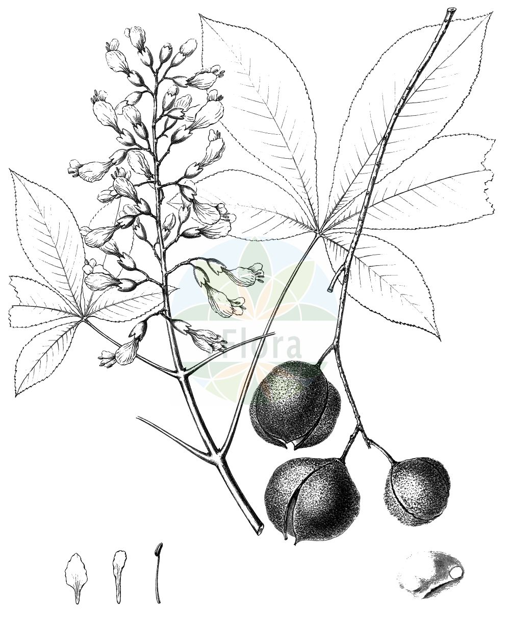 Historische Abbildung von Aesculus pavia. Das Bild zeigt Blatt, Bluete, Frucht und Same. ---- Historical Drawing of Aesculus pavia.The image is showing leaf, flower, fruit and seed.(Aesculus pavia,Aesculus pavia,Aesculus,Rosskastanie,Horse-chestnut,Sapindaceae,Seifenbaumgewaechse,Soapberry family,Blatt,Bluete,Frucht,Same,leaf,flower,fruit,seed,Sargent (1898-1902))