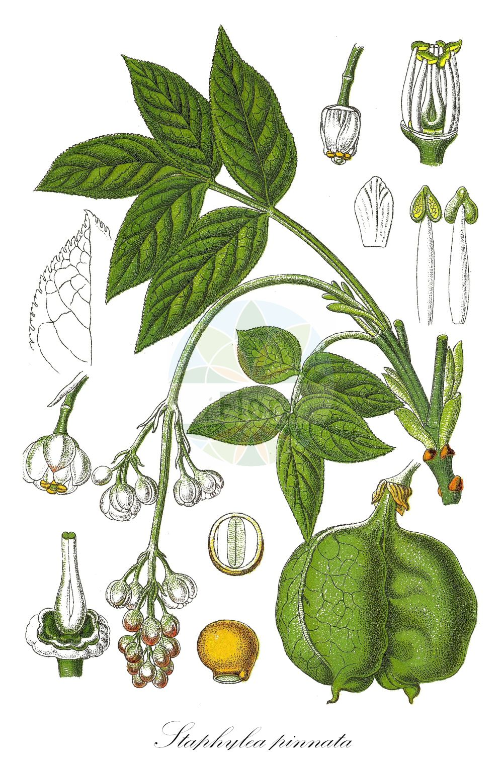 Historische Abbildung von Staphylea pinnata (Gewoehnliche Pimpernuss - Bladdernut). Das Bild zeigt Blatt, Bluete, Frucht und Same. ---- Historical Drawing of Staphylea pinnata (Gewoehnliche Pimpernuss - Bladdernut).The image is showing leaf, flower, fruit and seed.(Staphylea pinnata,Gewoehnliche Pimpernuss,Bladdernut,Paternosterbaum,Pimpernuss,European ,Staphylea,Pimpernuss,Bladdernut,Staphyleaceae,Pimpernussgewaechse,Bladdernut family,Blatt,Bluete,Frucht,Same,leaf,flower,fruit,seed,Sturm (1796f))