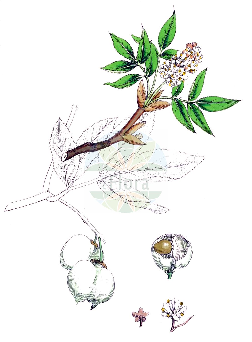 Historische Abbildung von Staphylea pinnata (Gewoehnliche Pimpernuss - Bladdernut). Das Bild zeigt Blatt, Bluete, Frucht und Same. ---- Historical Drawing of Staphylea pinnata (Gewoehnliche Pimpernuss - Bladdernut).The image is showing leaf, flower, fruit and seed.(Staphylea pinnata,Gewoehnliche Pimpernuss,Bladdernut,Staphylea pinnata,Gewoehnliche Pimpernuss,Paternosterbaum,Pimpernuss,Bladdernut,European Bladdernut,Staphylea,Pimpernuss,Bladdernut,Staphyleaceae,Pimpernussgewaechse,Bladdernut family,Blatt,Bluete,Frucht,Same,leaf,flower,fruit,seed,Sowerby (1790-1813))