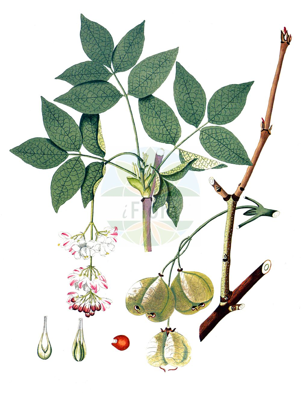 Historische Abbildung von Staphylea pinnata (Gewoehnliche Pimpernuss - Bladdernut). Das Bild zeigt Blatt, Bluete, Frucht und Same. ---- Historical Drawing of Staphylea pinnata (Gewoehnliche Pimpernuss - Bladdernut).The image is showing leaf, flower, fruit and seed.(Staphylea pinnata,Gewoehnliche Pimpernuss,Bladdernut,Staphylea pinnata,Gewoehnliche Pimpernuss,Paternosterbaum,Pimpernuss,Bladdernut,European Bladdernut,Staphylea,Pimpernuss,Bladdernut,Staphyleaceae,Pimpernussgewaechse,Bladdernut family,Blatt,Bluete,Frucht,Same,leaf,flower,fruit,seed,Krauss (1802f))