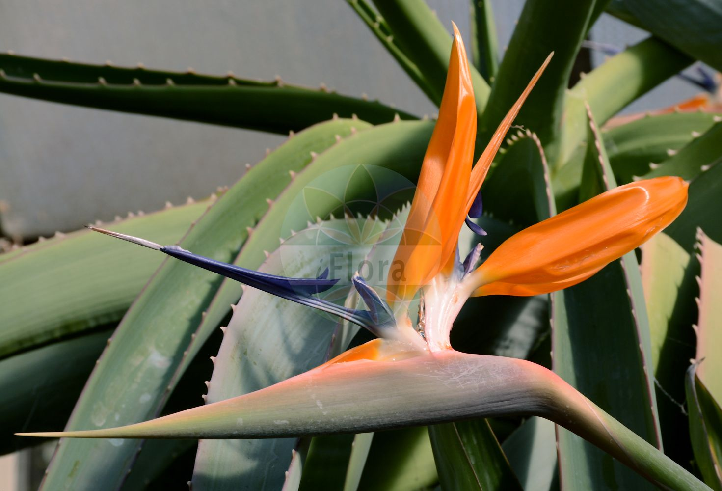 Foto von Strelitzia. Das Bild zeigt Blatt und Bluete. Das Foto wurde in Koeln, Nordrhein-Westfalen, Deutschland aufgenommen. ---- Photo of Strelitzia.The image is showing leaf and flower.The picture was taken in Cologne, North Rhine-Westphalia, Germany.(Strelitzia,Strelitzia,Strelitziaceae,Blatt,Bluete,leaf,flower)