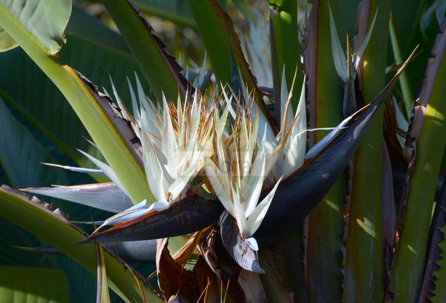 Foto von Strelitzia nicolai. Das Bild zeigt Blatt und Bluete. Das Foto wurde in San Remo, Liguria, Italien aufgenommen. ---- Photo of Strelitzia nicolai.The image is showing leaf and flower.The picture was taken in San Remo, Liguria, Italy.(Strelitzia nicolai,Strelitzia,Strelitziaceae,Blatt,Bluete,leaf,flower)