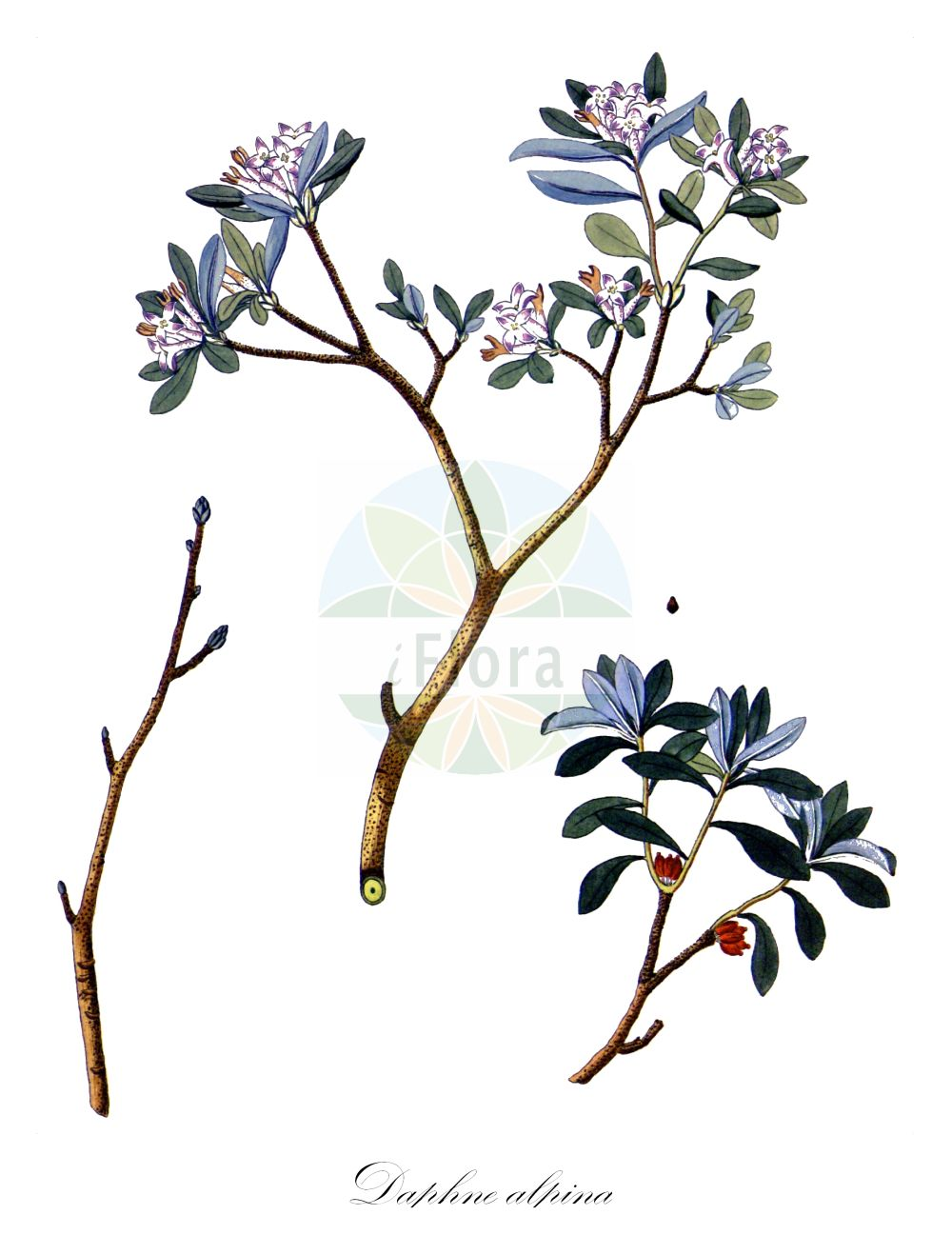 Historische Abbildung von Daphne alpina. Das Bild zeigt Blatt, Bluete, Frucht und Same. ---- Historical Drawing of Daphne alpina.The image is showing leaf, flower, fruit and seed. (Daphne alpina,Daphne,Seidelbast,Daphne,Thymelaeaceae,Spatzenzungengewaechse;Seidelbastgewaechse,Daphne family,Blatt,Bluete,Frucht,Same,leaf,flower,fruit,seed,Krauss (1802f))