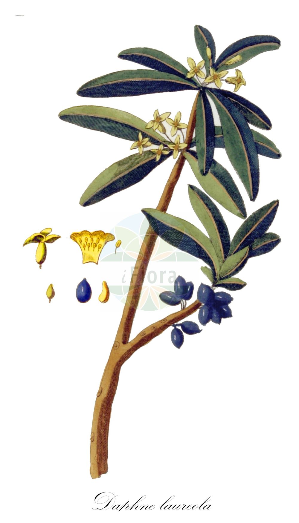 Historische Abbildung von Daphne laureola (Lorbeer-Seidelbast - Spurge-laurel). Das Bild zeigt Blatt, Bluete, Frucht und Same. ---- Historical Drawing of Daphne laureola (Lorbeer-Seidelbast - Spurge-laurel).The image is showing leaf, flower, fruit and seed. (Daphne laureola,Lorbeer-Seidelbast,Spurge-laurel,Daphne philippi,Wood Laurel,Daphne,Seidelbast,Daphne,Thymelaeaceae,Spatzenzungengewaechse;Seidelbastgewaechse,Daphne family,Blatt,Bluete,Frucht,Same,leaf,flower,fruit,seed,Kops (1800-1934))