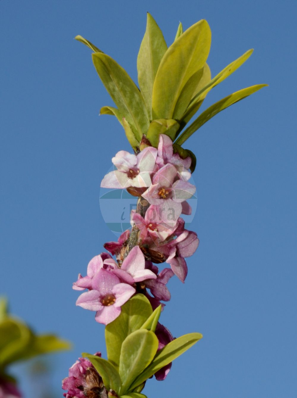 Foto von Daphne mezereum (Gewoehnlicher Seidelbast - Mezereon). Das Bild zeigt Blatt und Bluete. Das Foto wurde in aufgenommen. ---- Photo of Daphne mezereum (Gewoehnlicher Seidelbast - Mezereon).The image is showing leaf and flower.The picture was taken in . (Daphne mezereum,Gewoehnlicher Seidelbast,Mezereon,Bergpfeffer,Deutscher Pfeffer,Kellerhals,Purgierstrauch,Warzenbast,Zeiland,February Daphne,Paradise Plant,Daphne,Seidelbast,Daphne,Thymelaeaceae,Spatzenzungengewaechse;Seidelbastgewaechse,Daphne family,Blatt,Bluete,leaf,flower)