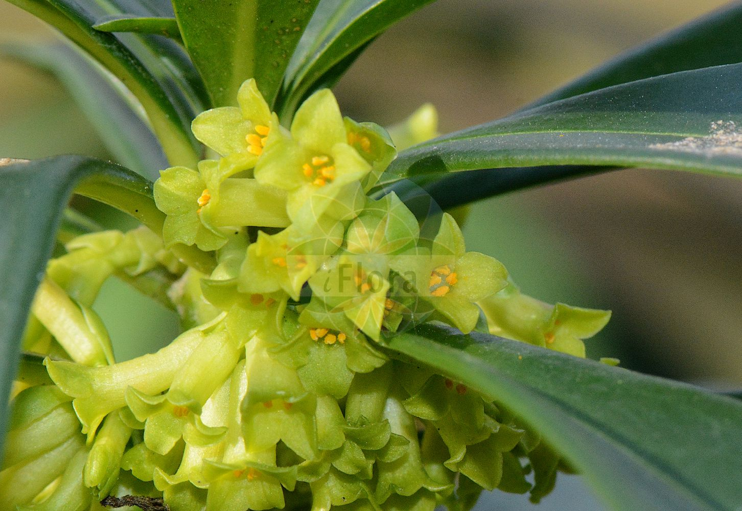 Foto von Daphne laureola (Lorbeer-Seidelbast - Spurge-laurel). Das Foto wurde in Mainz, Rheinland-Pfalz, Deutschland aufgenommen. ---- Photo of Daphne laureola (Lorbeer-Seidelbast - Spurge-laurel).The picture was taken in Mainz, Rhineland-Palatinate, Germany. (Daphne laureola,Lorbeer-Seidelbast,Spurge-laurel,Daphne philippi,Wood Laurel,Daphne,Seidelbast,Daphne,Thymelaeaceae,Spatzenzungengewaechse;Seidelbastgewaechse,Daphne family)