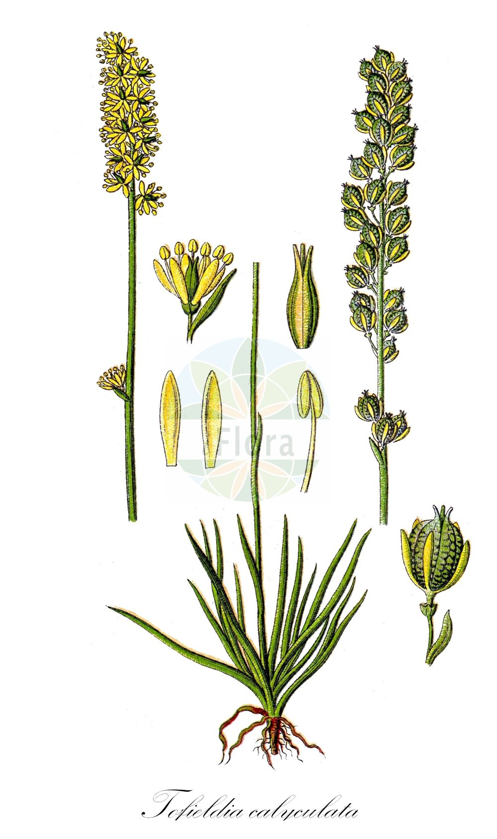 Historische Abbildung von Tofieldia calyculata (Gewoehnliche Simsenlilie - Mountain Scottish Asphodel). Das Bild zeigt Blatt, Bluete, Frucht und Same. ---- Historical Drawing of Tofieldia calyculata (Gewoehnliche Simsenlilie - Mountain Scottish Asphodel).The image is showing leaf, flower, fruit and seed.(Tofieldia calyculata,Gewoehnliche Simsenlilie,Mountain Scottish Asphodel,Anthericum calyculatum,Anthericum pseudoasphodelus,Asphodeliris calyculata,Cymba calyculata,Hebelia allemanica,Hebelia collina,Helonias anthericoides,Helonias borealis,Heriteria anthericoides,Isidrogalvia calyculata,Narthecium alpinum,Narthecium calyculatum,Narthecium iridifolium,Tofieldia allemannica,Tofieldia alpina,Tofieldia anthericoides,Tofieldia collina,Tofieldia glacialis,Tofieldia palustris,Tofieldia racemosa,Tofieldia rubra,Tofieldia stenopetala,Tofieldia,Simsenlilie,Scottish Asphodel,Tofieldiaceae,Simsenliliengewaechse,Scottish Asphodel family,Blatt,Bluete,Frucht,Same,leaf,flower,fruit,seed,Sturm (1796f))