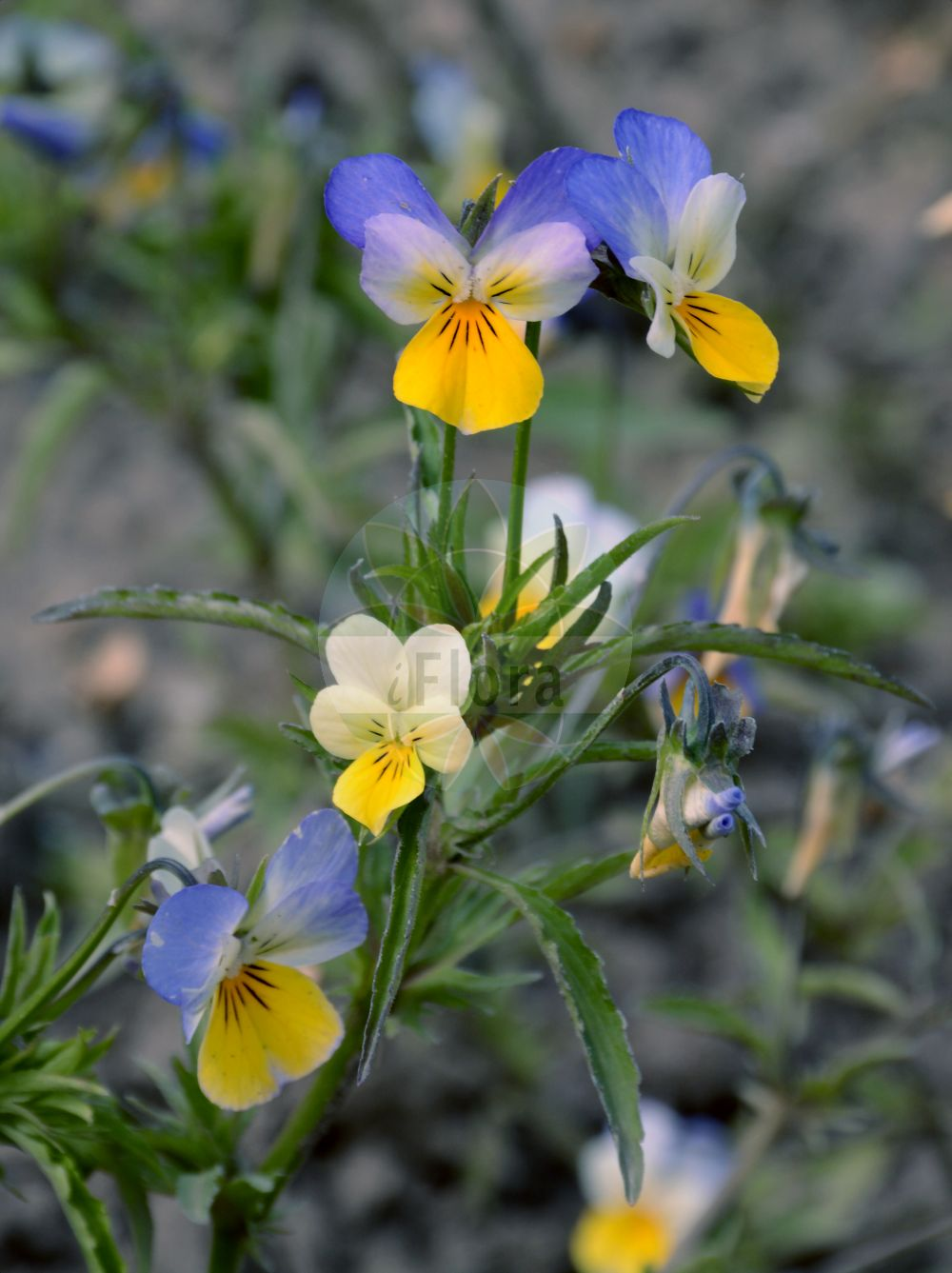 Foto von Viola tricolor (Wildes Stiefmuetterchen - Wild Pansy). Das Bild zeigt Blatt und Bluete. Das Foto wurde in Berlin, Deutschland aufgenommen. ---- Photo of Viola tricolor (Wildes Stiefmuetterchen - Wild Pansy).The image is showing leaf and flower.The picture was taken in Berlin, Germany. (Viola tricolor,Wildes Stiefmuetterchen,Wild Pansy,Viola kupfferi,Viola luteola,Viola nemausensis,subsp. faeroeensis,Heart's Ease,Johnny Jumpup,Pansy,Wild Violet,Viola,Veilchen,violet,Violaceae,Veilchengewaechse,Violet family,Blatt,Bluete,leaf,flower)