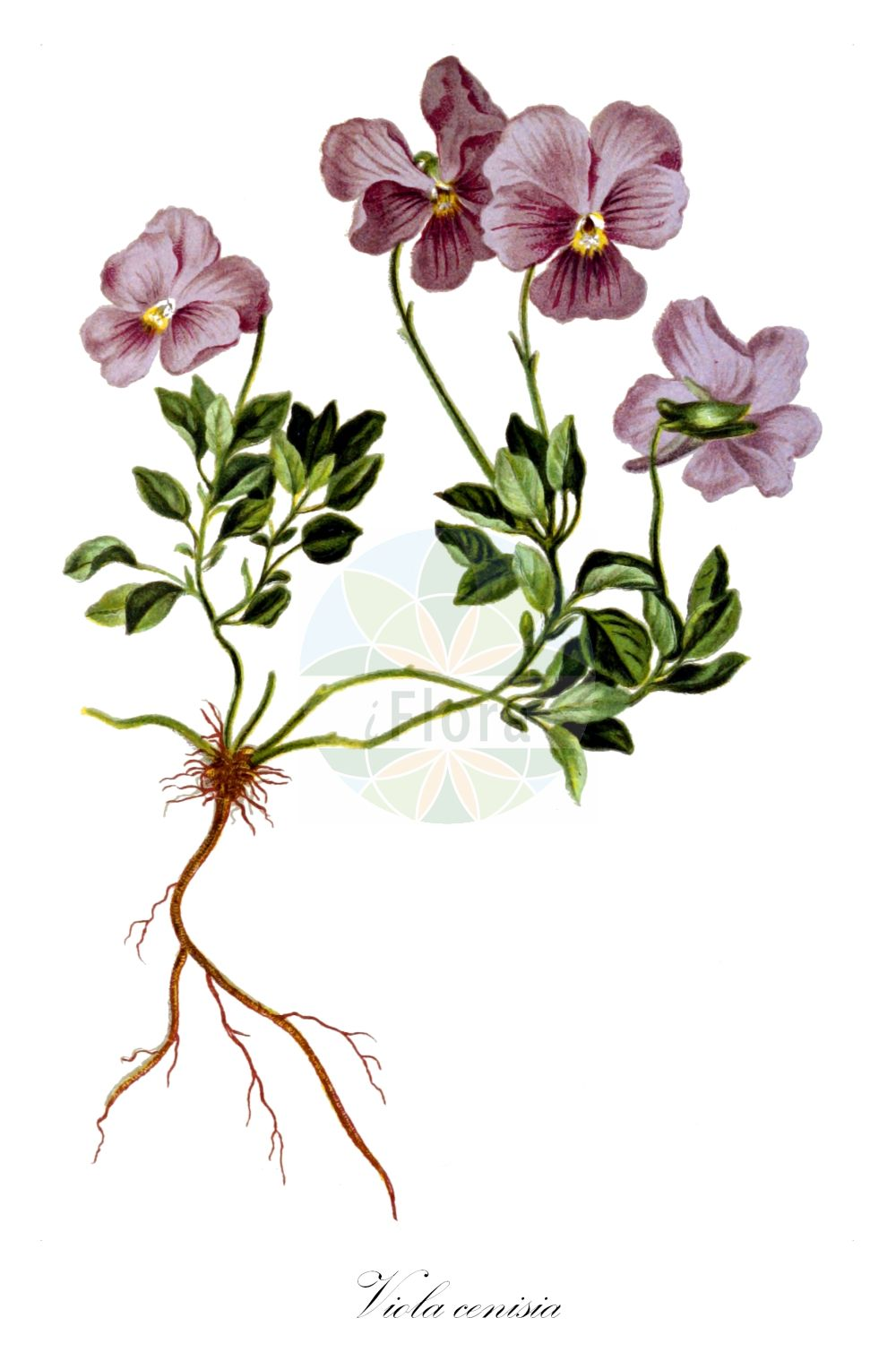 Historische Abbildung von Viola cenisia. Das Bild zeigt Blatt, Bluete, Frucht und Same. ---- Historical Drawing of Viola cenisia.The image is showing leaf, flower, fruit and seed. (Viola cenisia,Viola integrifolia,Viola,Veilchen,violet,Violaceae,Veilchengewaechse,Violet family,Blatt,Bluete,Frucht,Same,leaf,flower,fruit,seed,Hartinger & von Dalla Torre (1806f))