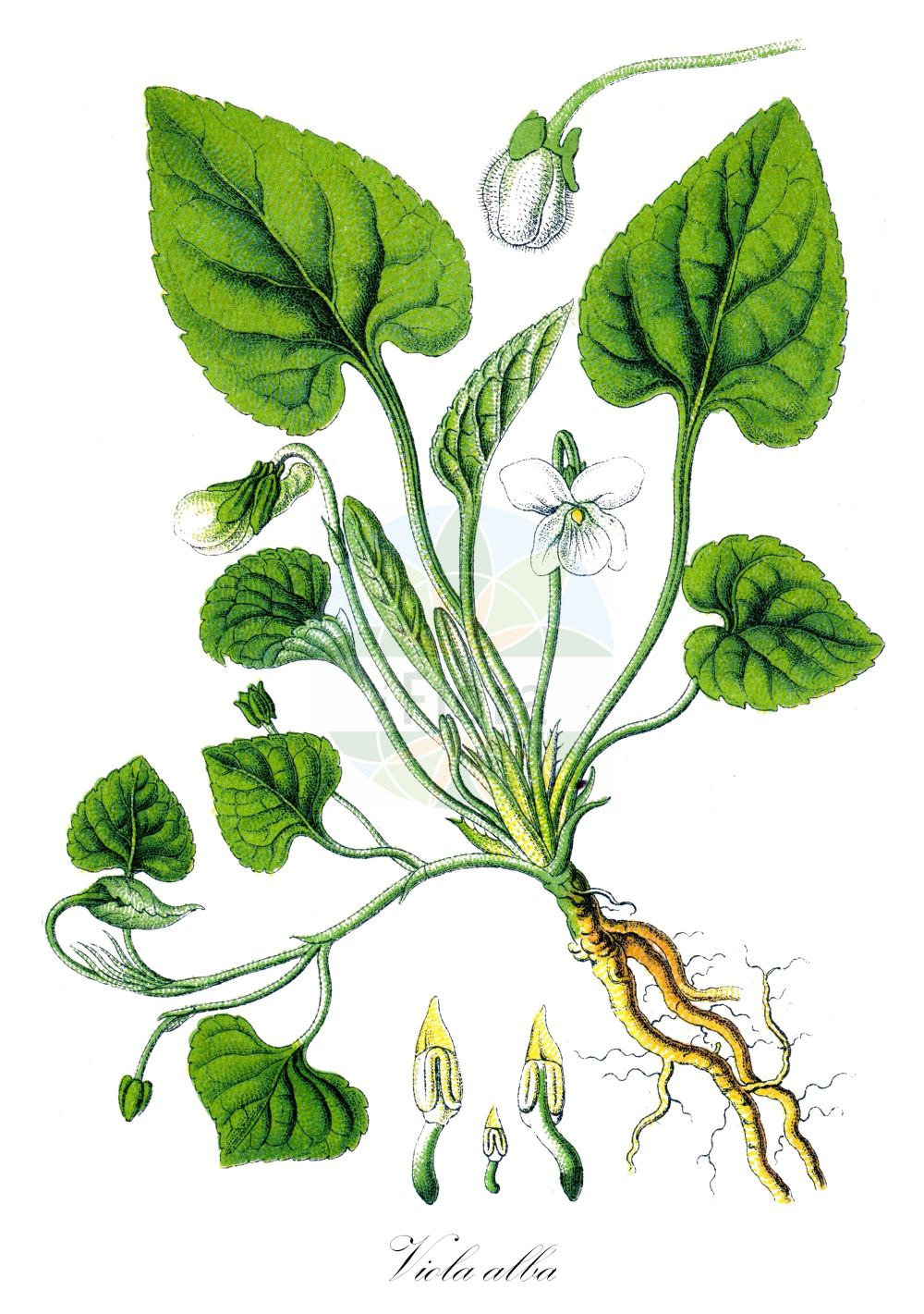 Historische Abbildung von Viola alba (Weisses Veilchen - White Violet). Das Bild zeigt Blatt, Bluete, Frucht und Same. ---- Historical Drawing of Viola alba (Weisses Veilchen - White Violet).The image is showing leaf, flower, fruit and seed. (Viola alba,Weisses Veilchen,White Violet,Viola besseri,Viola martii subsp. alba,Gewoehnliches ,Viola,Veilchen,violet,Violaceae,Veilchengewaechse,Violet family,Blatt,Bluete,Frucht,Same,leaf,flower,fruit,seed,Sturm (1796f))