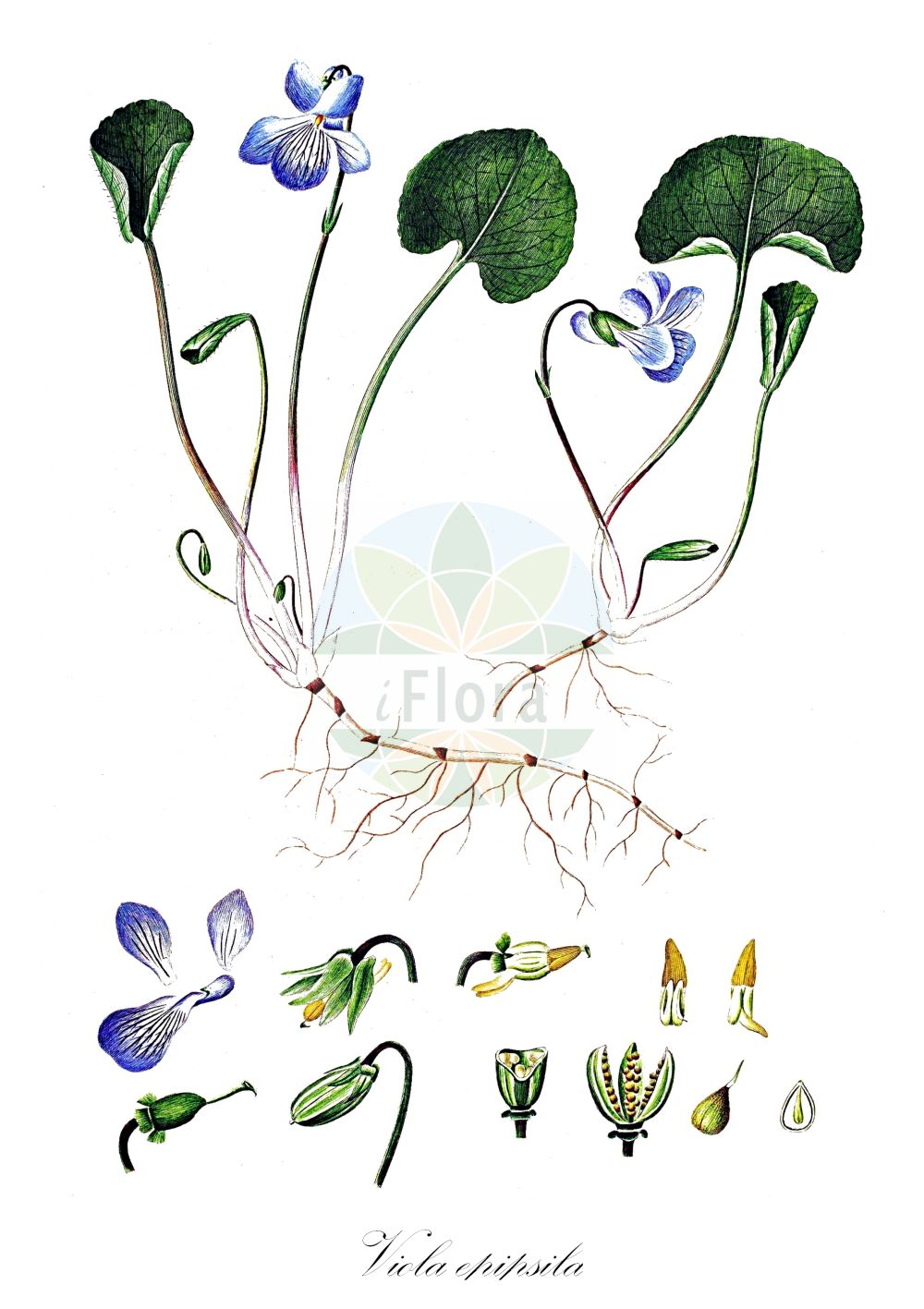 Historische Abbildung von Viola epipsila (Torf-Veilchen - Dwarf Marsh Violet). Das Bild zeigt Blatt, Bluete, Frucht und Same. ---- Historical Drawing of Viola epipsila (Torf-Veilchen - Dwarf Marsh Violet).The image is showing leaf, flower, fruit and seed. (Viola epipsila,Torf-Veilchen,Dwarf Marsh Violet,Viola suecica,Viola,Veilchen,violet,Violaceae,Veilchengewaechse,Violet family,Blatt,Bluete,Frucht,Same,leaf,flower,fruit,seed,Oeder (1761-1883))