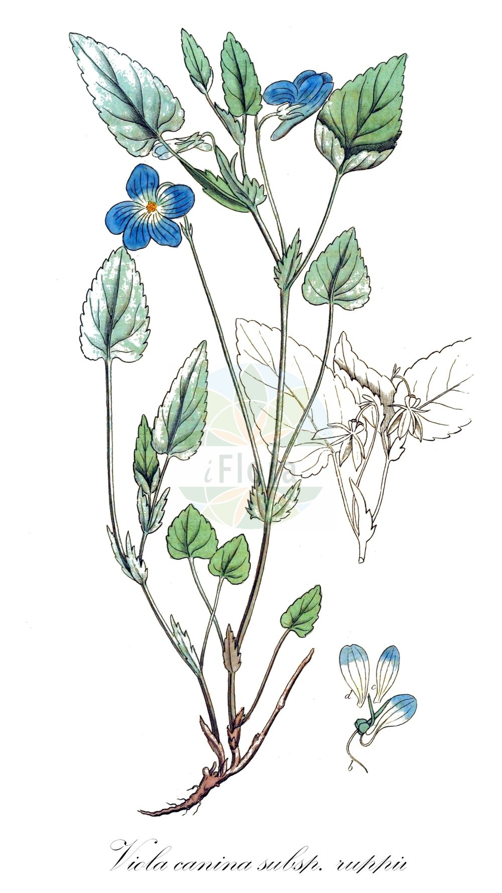 Historische Abbildung von Viola canina subsp. ruppii (Berg-Veilchen - Heath Dog-violet). Das Bild zeigt Blatt, Bluete, Frucht und Same. ---- Historical Drawing of Viola canina subsp. ruppii (Berg-Veilchen - Heath Dog-violet).The image is showing leaf, flower, fruit and seed. (Viola canina subsp. ruppii,Berg-Veilchen,Heath Dog-violet,Viola montana,Viola,Veilchen,violet,Violaceae,Veilchengewaechse,Violet family,Blatt,Bluete,Frucht,Same,leaf,flower,fruit,seed,Palmstruch (1807-1843))