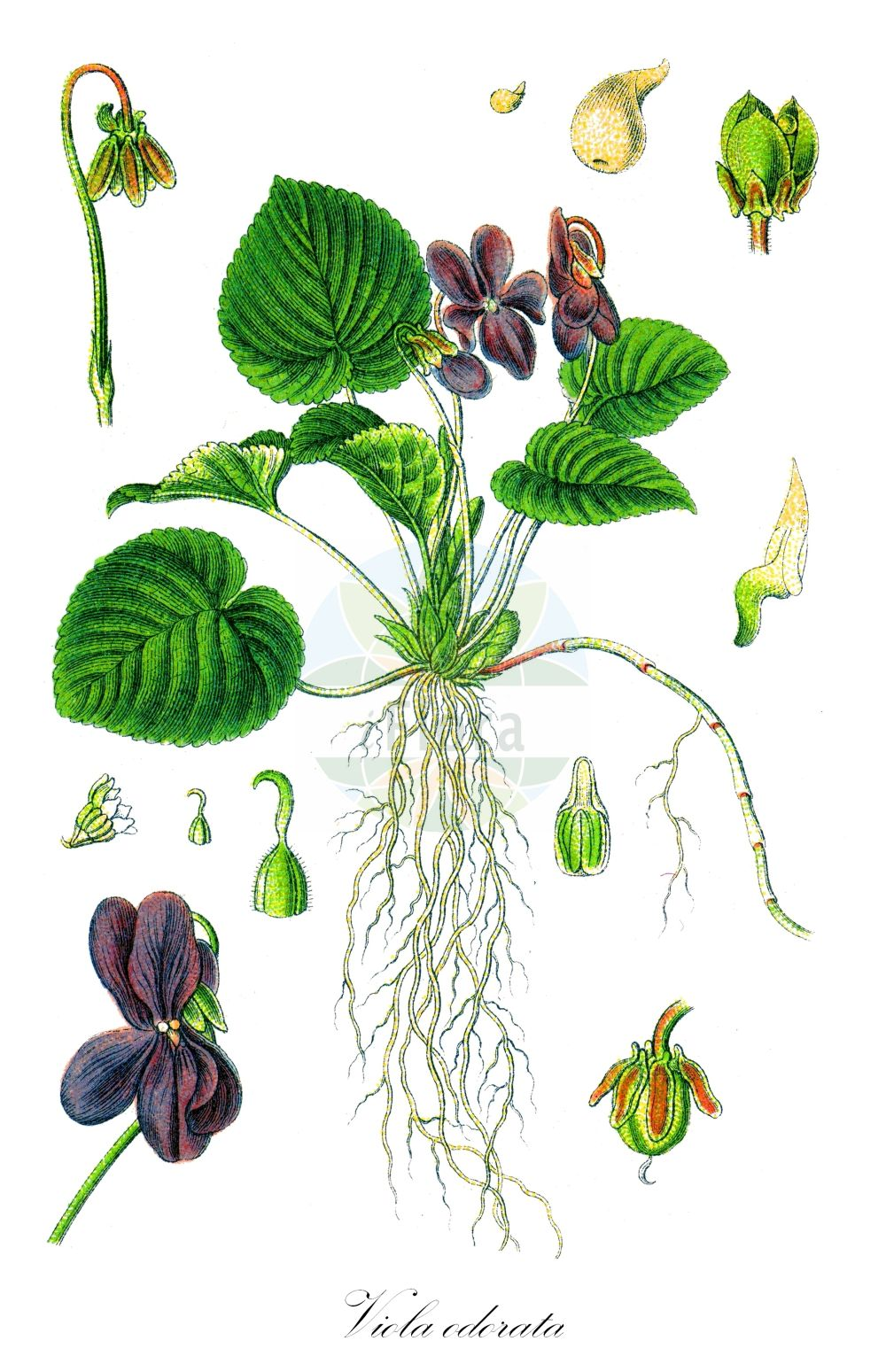 Historische Abbildung von Viola odorata (Duft-Veilchen - Sweet Violet). Das Bild zeigt Blatt, Bluete, Frucht und Same. ---- Historical Drawing of Viola odorata (Duft-Veilchen - Sweet Violet).The image is showing leaf, flower, fruit and seed. (Viola odorata,Duft-Veilchen,Sweet Violet,Viola maderensis,Viola stolonifera,Viola wiedemannii,Wohlriechendes Veilchen,English Violet,Viola,Veilchen,violet,Violaceae,Veilchengewaechse,Violet family,Blatt,Bluete,Frucht,Same,leaf,flower,fruit,seed,Sturm (1796f))