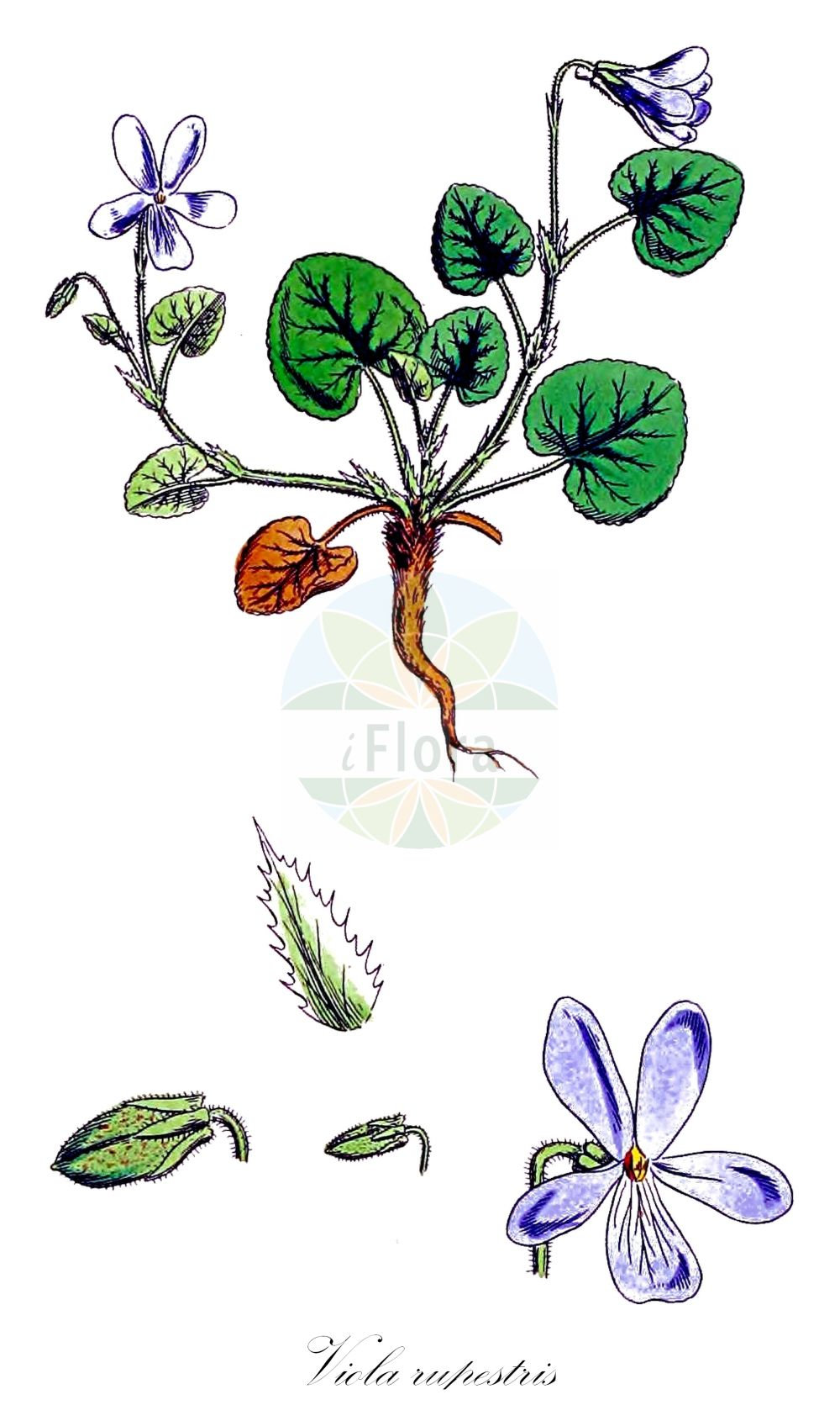 Historische Abbildung von Viola rupestris (Sand-Veilchen - Teesdale Violet). Das Bild zeigt Blatt, Bluete, Frucht und Same. ---- Historical Drawing of Viola rupestris (Sand-Veilchen - Teesdale Violet).The image is showing leaf, flower, fruit and seed. (Viola rupestris,Sand-Veilchen,Teesdale Violet,Viola arenaria,Viola glaberrima,var. glaberrima,Felsen-Veilchen,Viola,Veilchen,violet,Violaceae,Veilchengewaechse,Violet family,Blatt,Bluete,Frucht,Same,leaf,flower,fruit,seed,Sowerby (1790-1813))