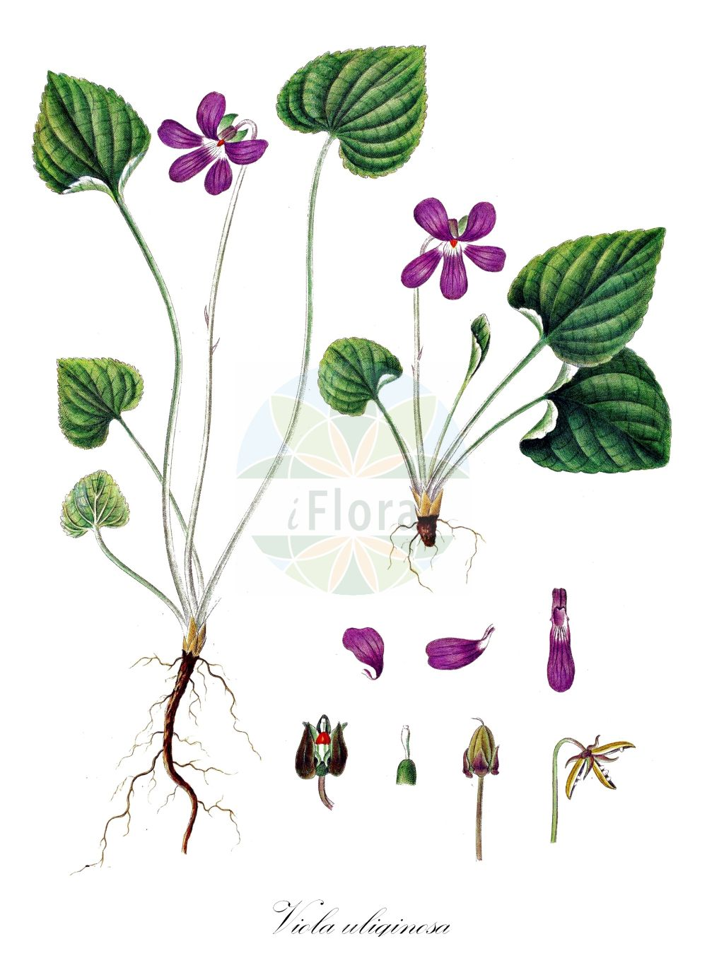 Historische Abbildung von Viola uliginosa (Moor-Veilchen - Baltic Violet). Das Bild zeigt Blatt, Bluete, Frucht und Same. ---- Historical Drawing of Viola uliginosa (Moor-Veilchen - Baltic Violet).The image is showing leaf, flower, fruit and seed. (Viola uliginosa,Moor-Veilchen,Baltic Violet,Viola,Veilchen,violet,Violaceae,Veilchengewaechse,Violet family,Blatt,Bluete,Frucht,Same,leaf,flower,fruit,seed,Oeder (1761-1883))