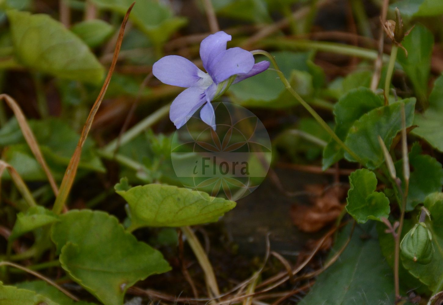 Foto von Viola collina (Huegel-Veilchen - Hill Violet). Das Foto wurde in Lyon, Auvergne-Rhône-Alpes, Frankreich aufgenommen. ---- Photo of Viola collina (Huegel-Veilchen - Hill Violet).The picture was taken in Lyon, Auvergne-Rhône-Alpes, France. (Viola collina,Huegel-Veilchen,Hill Violet,Viola porphyrea,Viola,Veilchen,violet,Violaceae,Veilchengewaechse,Violet family)