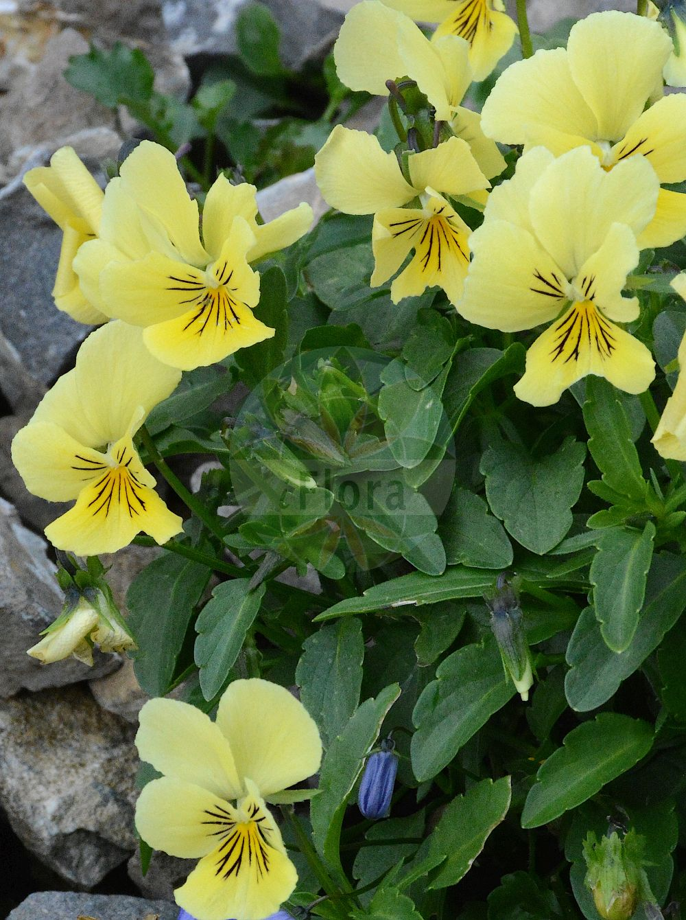 Foto von Viola lutea (Sudeten-Stiefmuetterchen - Mountain Pansy). Das Foto wurde in Schynige Platte, Interlaken, Bern, Schweiz aufgenommen. ---- Photo of Viola lutea (Sudeten-Stiefmuetterchen - Mountain Pansy).The picture was taken in Schynige Platte, Interlaken, Bern, Switzerland. (Viola lutea,Sudeten-Stiefmuetterchen,Mountain Pansy,subsp. elegans,Sudeten-Veilchen,Vogesen-Stiefmuetterchen,Viola,Veilchen,violet,Violaceae,Veilchengewaechse,Violet family)